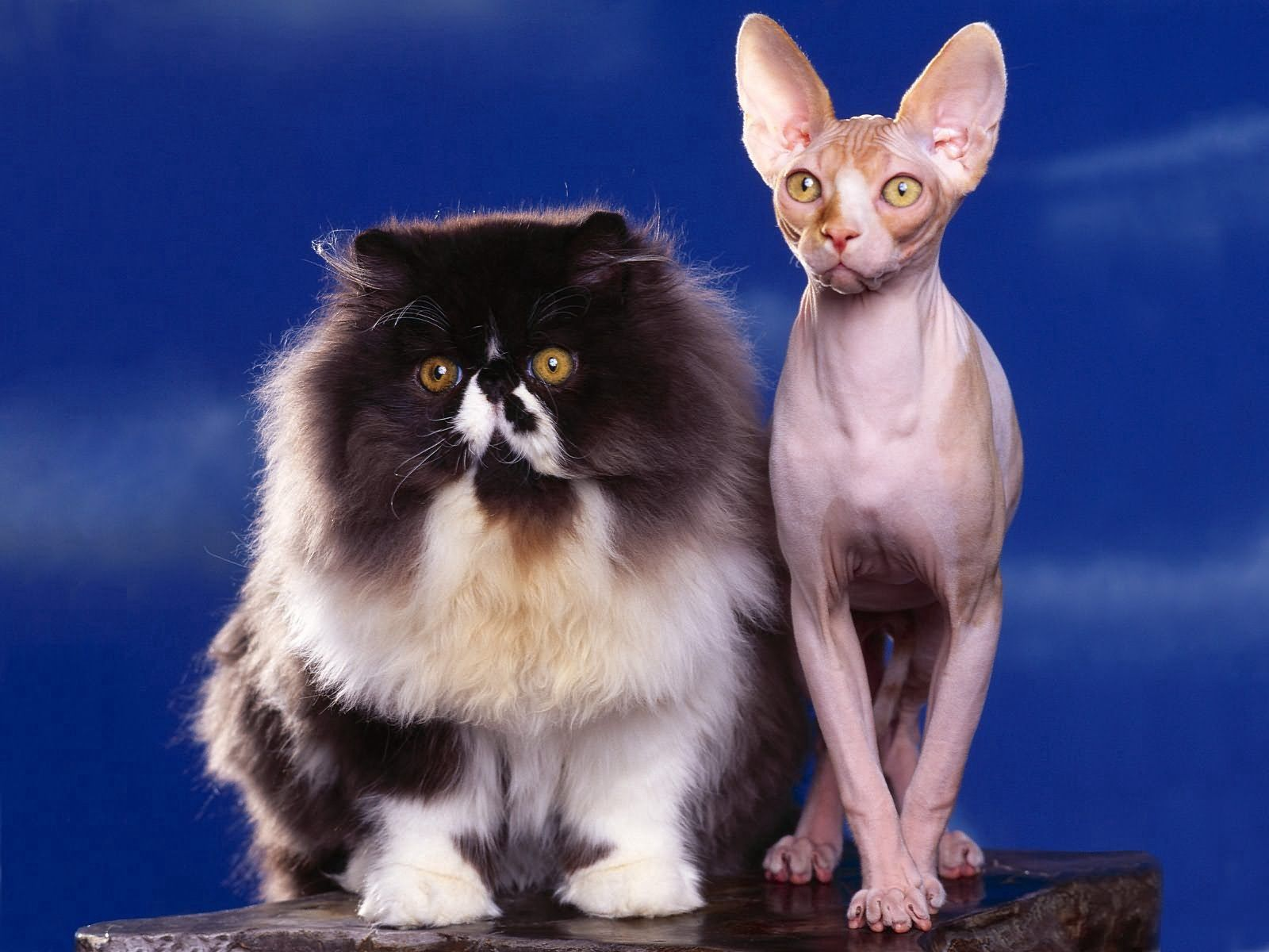 73276 download wallpaper Animals, Cats, Sphinx, Fluffy, Couple, Pair screensavers and pictures for free