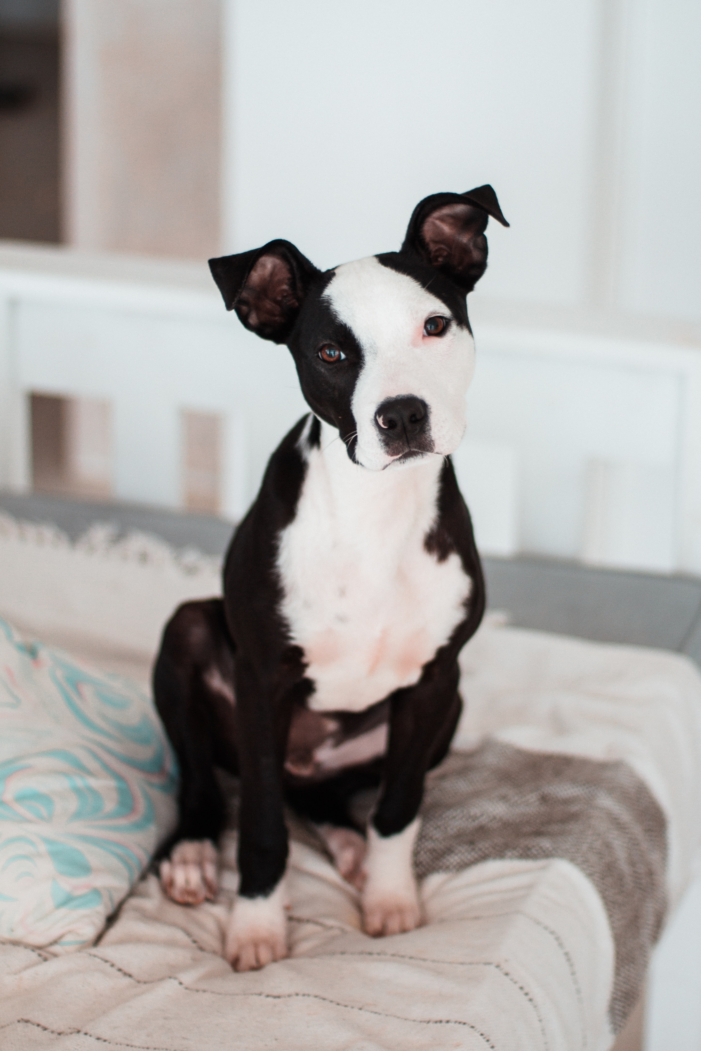 99075 download wallpaper Animals, American Terrier, Terrier, Puppy, Dog screensavers and pictures for free