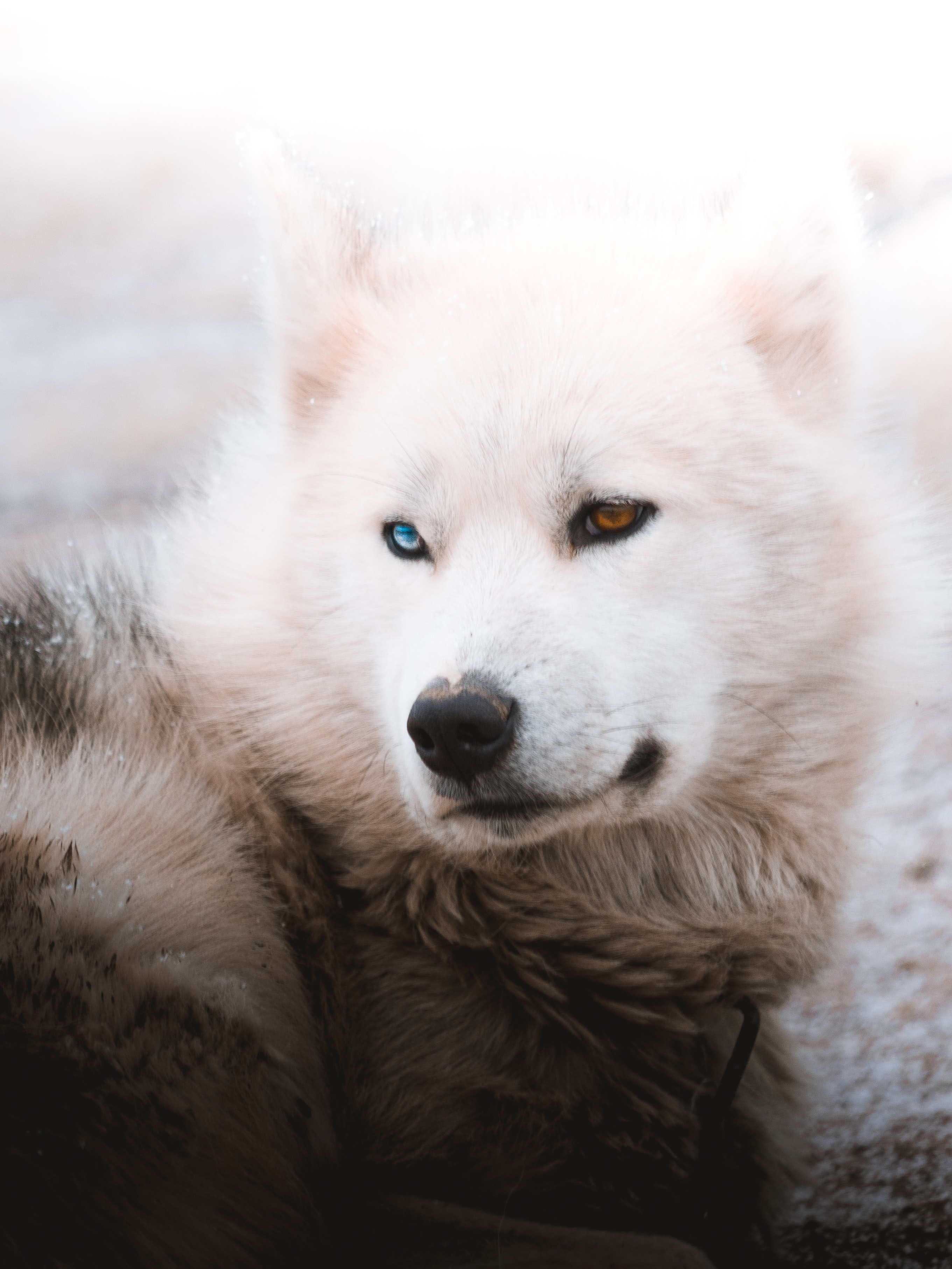 134255 Screensavers and Wallpapers Husky for phone. Download Animals, Fluffy, Dog, Pet, Husky pictures for free