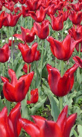 2505 descargar fondo de pantalla Plantas, Flores, Fondo, Tulipanes: protectores de pantalla e imágenes gratis
