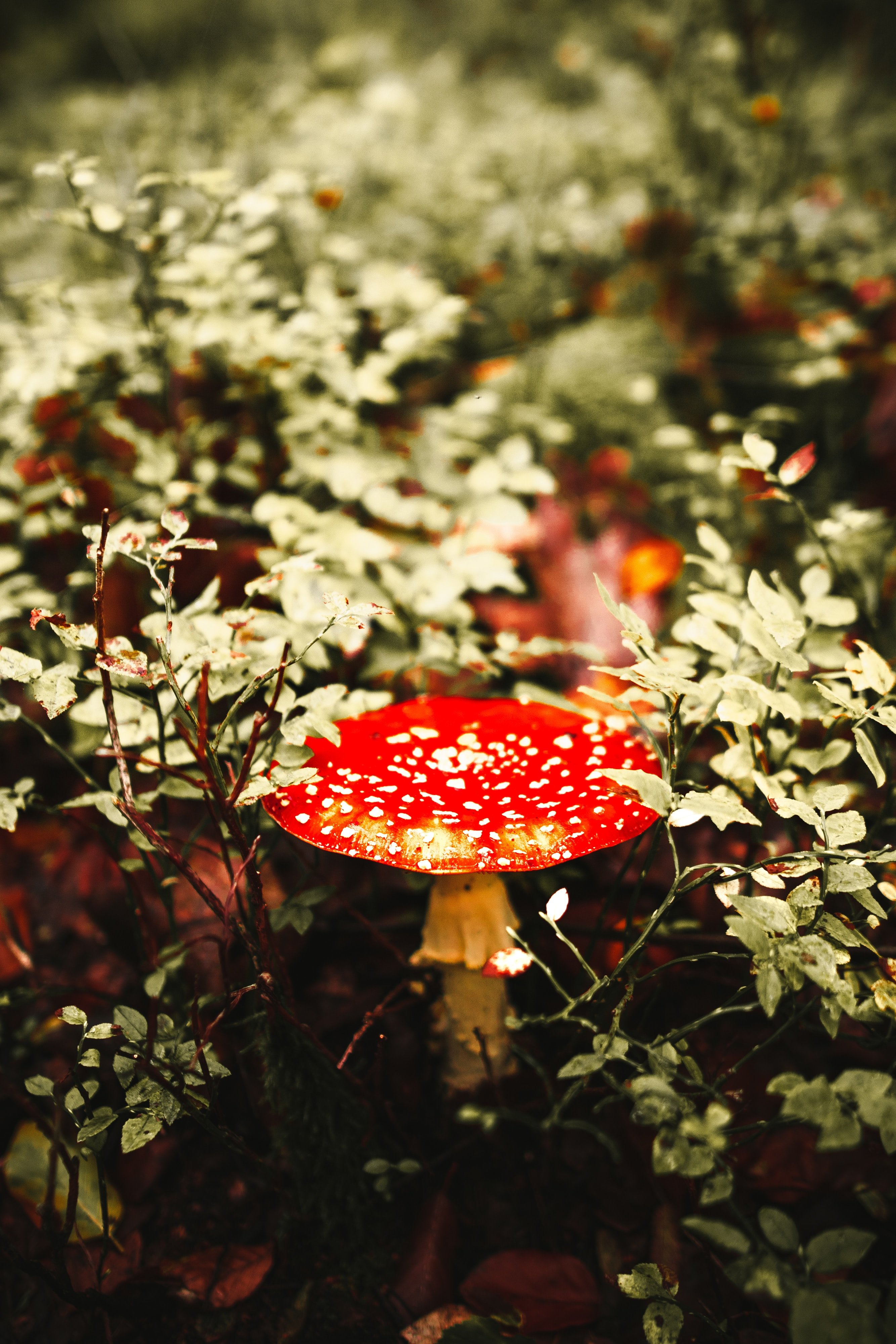 110098 download wallpaper Macro, Fly Agaric, Mushroom, Spotted, Spotty screensavers and pictures for free