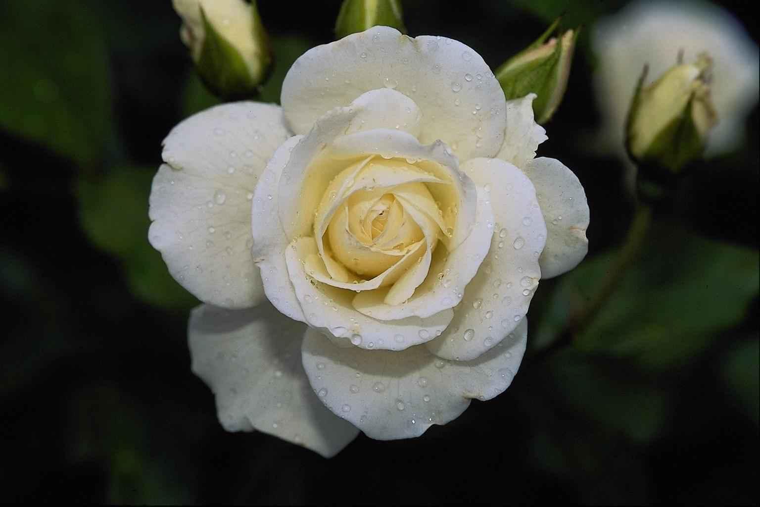 11871 скачать обои Растения, Цветы, Розы - заставки и картинки бесплатно