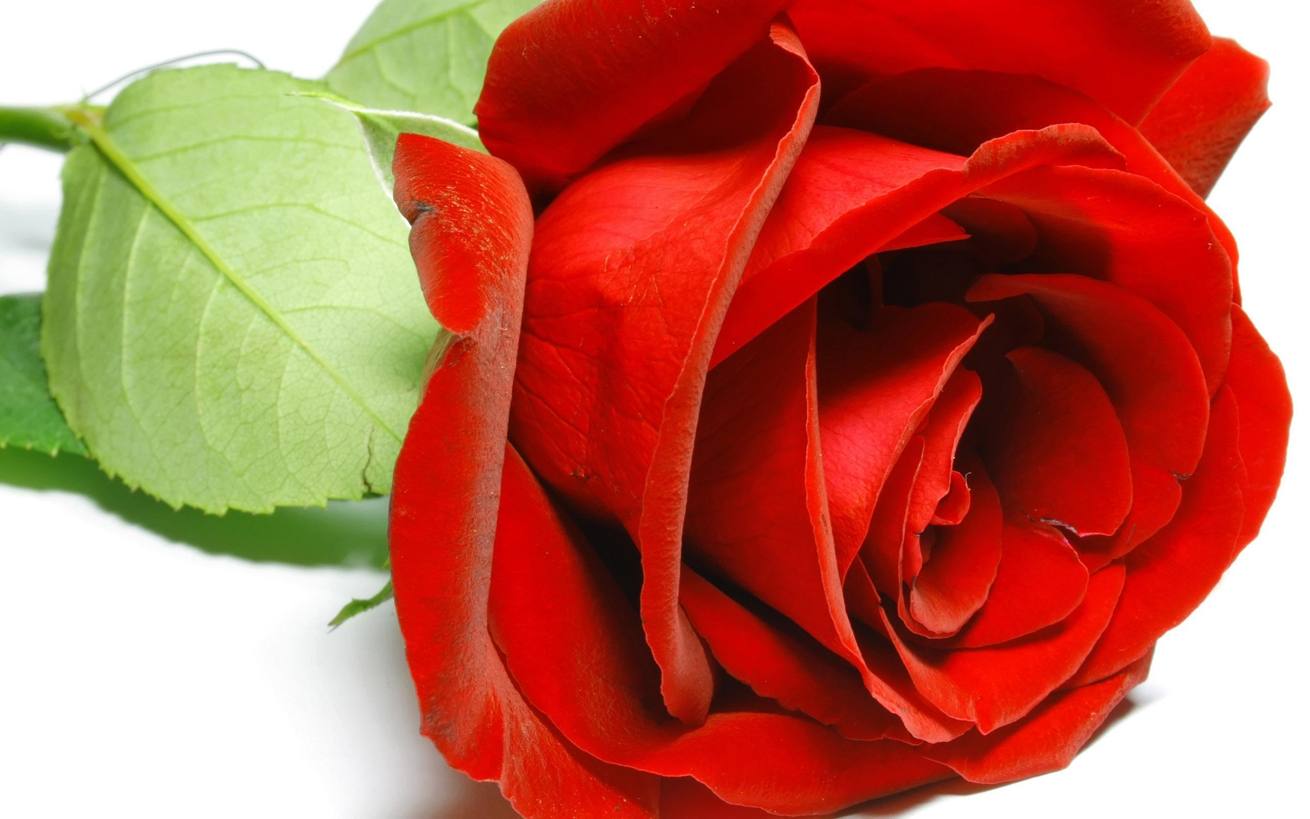 10889 скачать обои Растения, Цветы, Розы, Открытки - заставки и картинки бесплатно