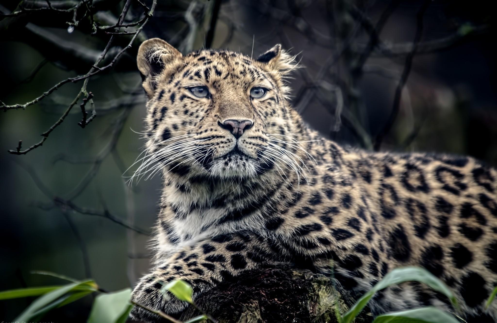 96217 Protetores de tela e papéis de parede Opinião em seu telefone. Baixe Animais, Leopardo, Focinho, Predator, Predador, Tristeza, Visão, Opinião fotos gratuitamente