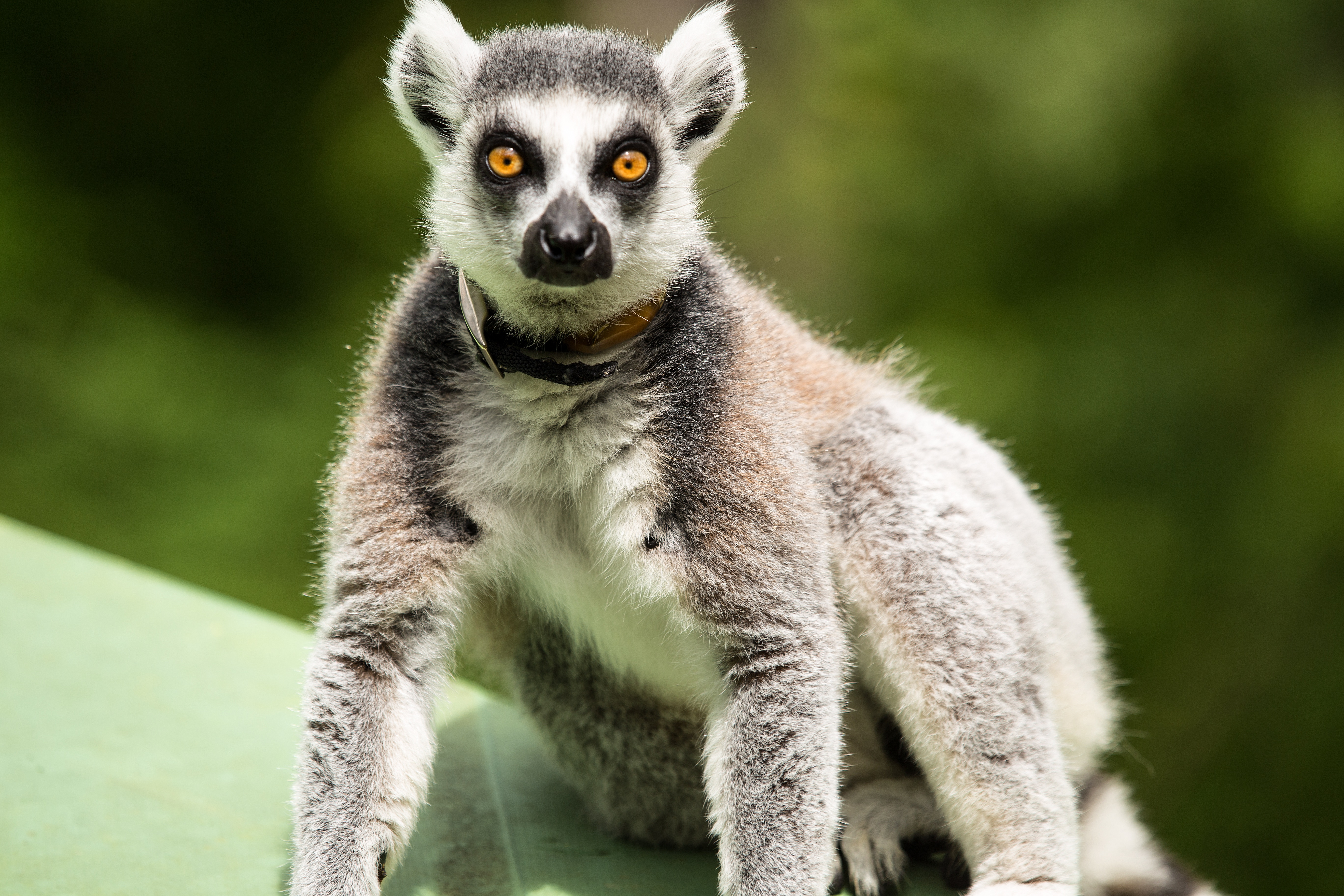 68316 download wallpaper Animals, Lemur, Surprise, Astonishment, To Stand, Stand screensavers and pictures for free