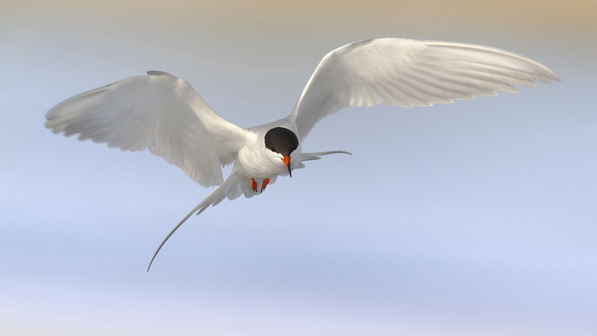 140362 download wallpaper Animals, Bird, Gull, Seagull, Tern, Sky screensavers and pictures for free
