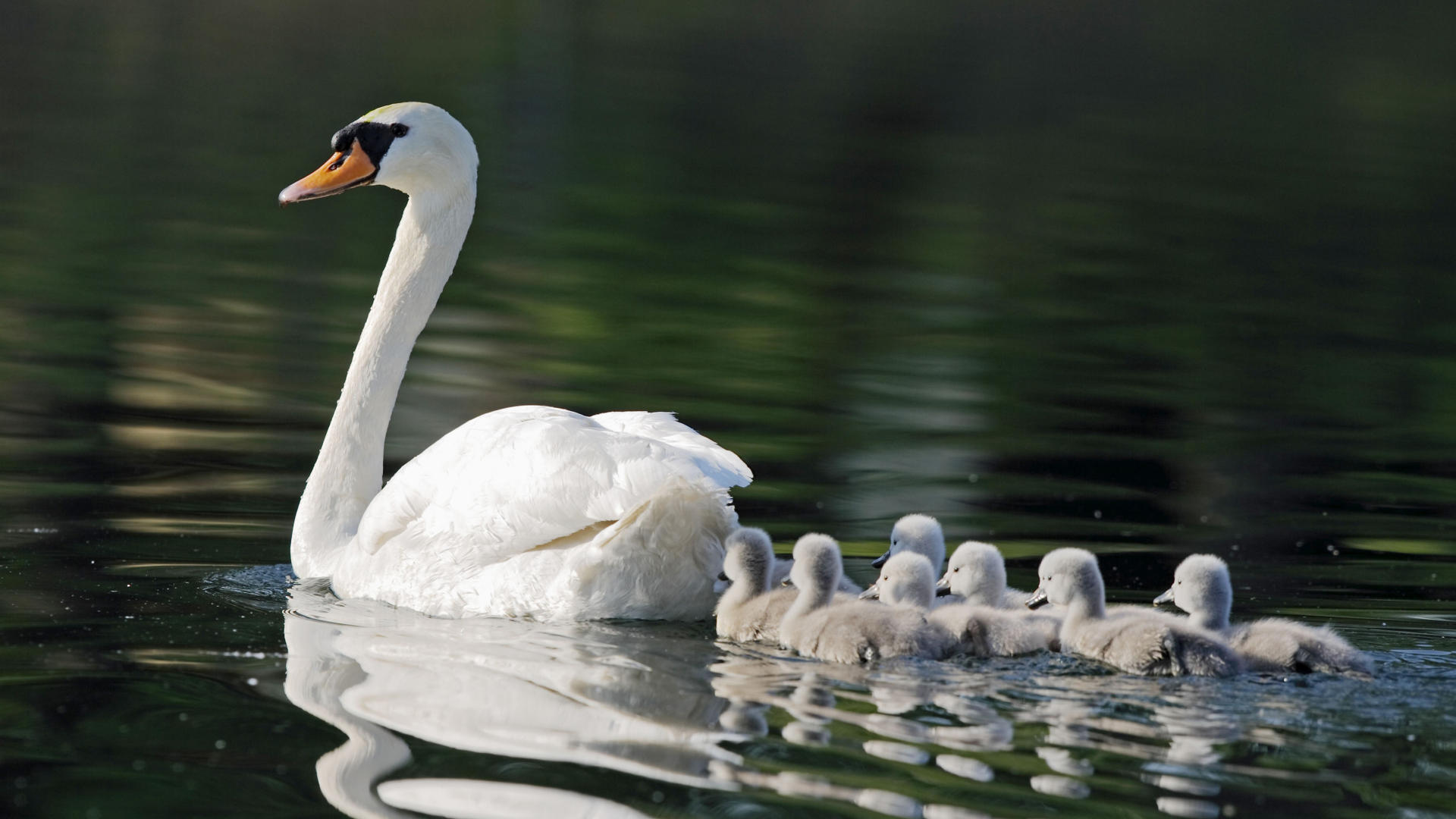37522 download wallpaper Landscape, Birds, Swans screensavers and pictures for free