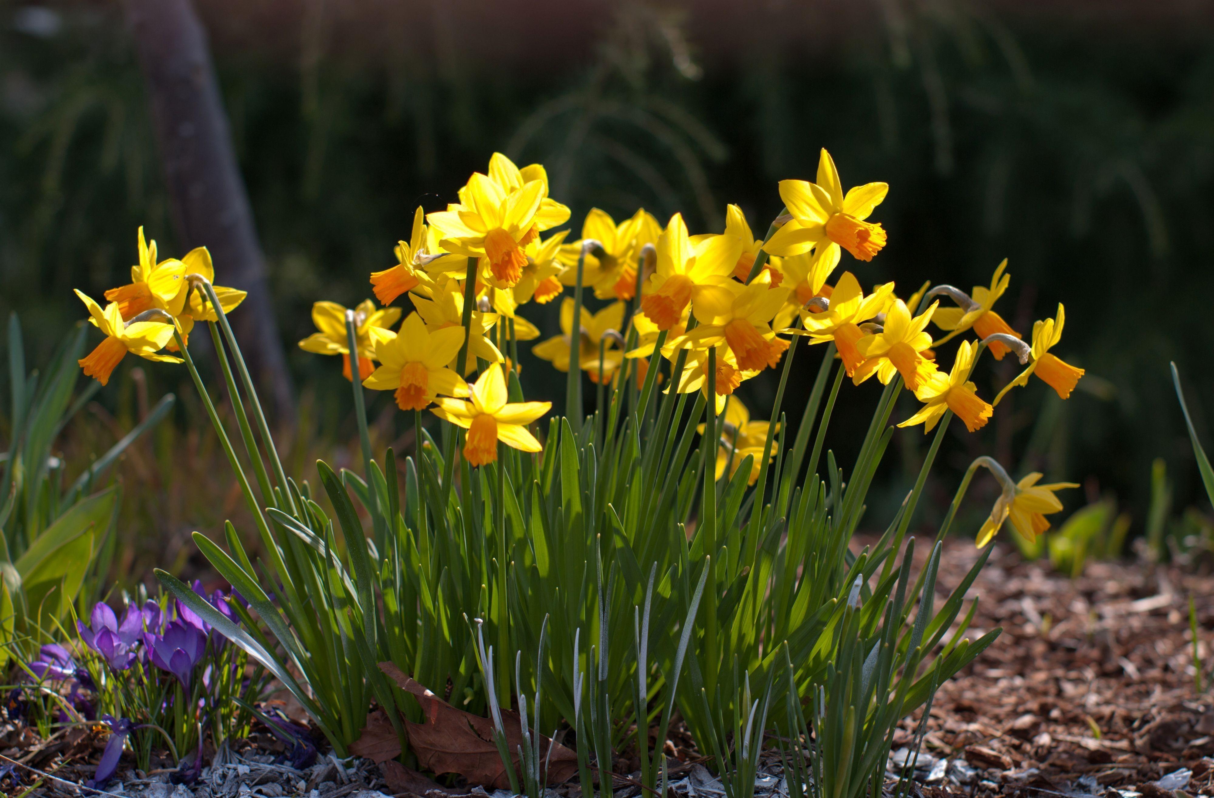 140900 Заставки и Обои Нарциссы на телефон. Скачать Цветы, Нарциссы, Поляна, Весна, Солнечно, Крокусы картинки бесплатно