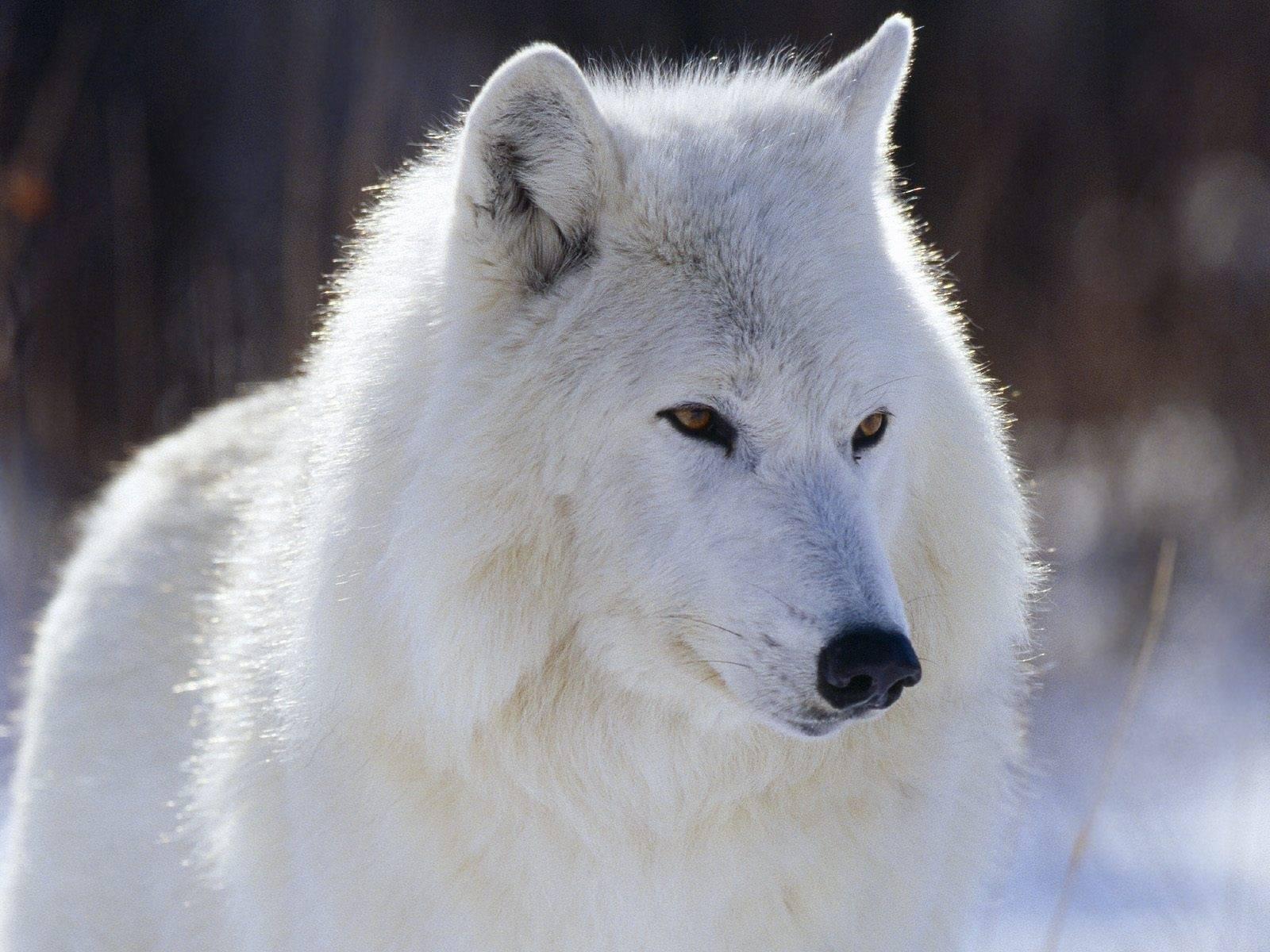 9544 télécharger le fond d'écran Animaux, Loups - économiseurs d'écran et images gratuitement
