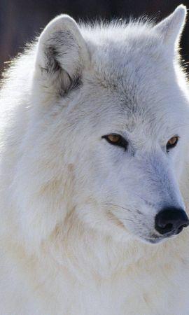 9544 baixar papel de parede Animais, Lobos - protetores de tela e imagens gratuitamente