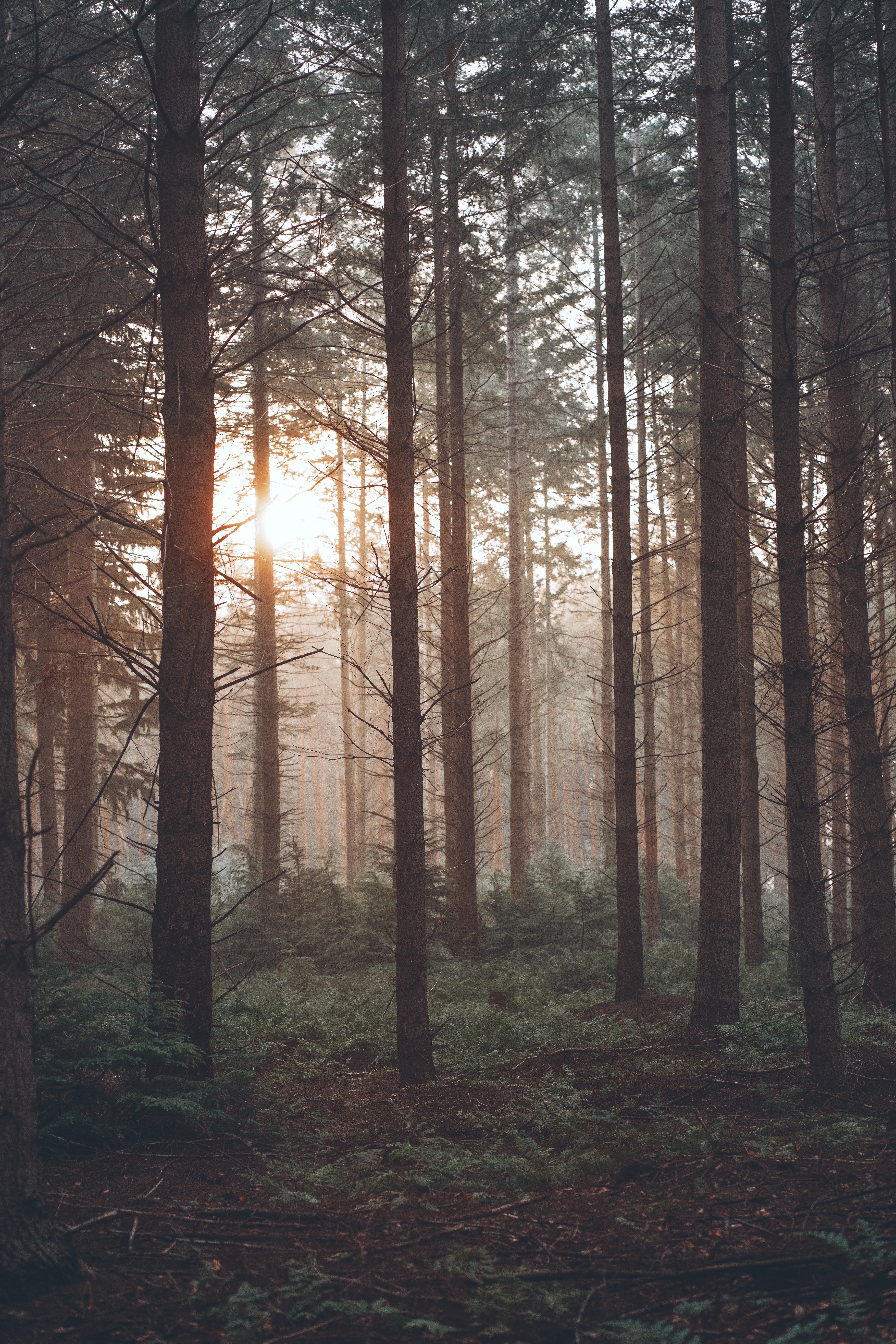 118637 скачать обои Природа, Лес, Туман, Деревья, Солнце, Сосны - заставки и картинки бесплатно