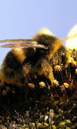 37124 télécharger le fond d'écran Insectes, Abeilles - économiseurs d'écran et images gratuitement