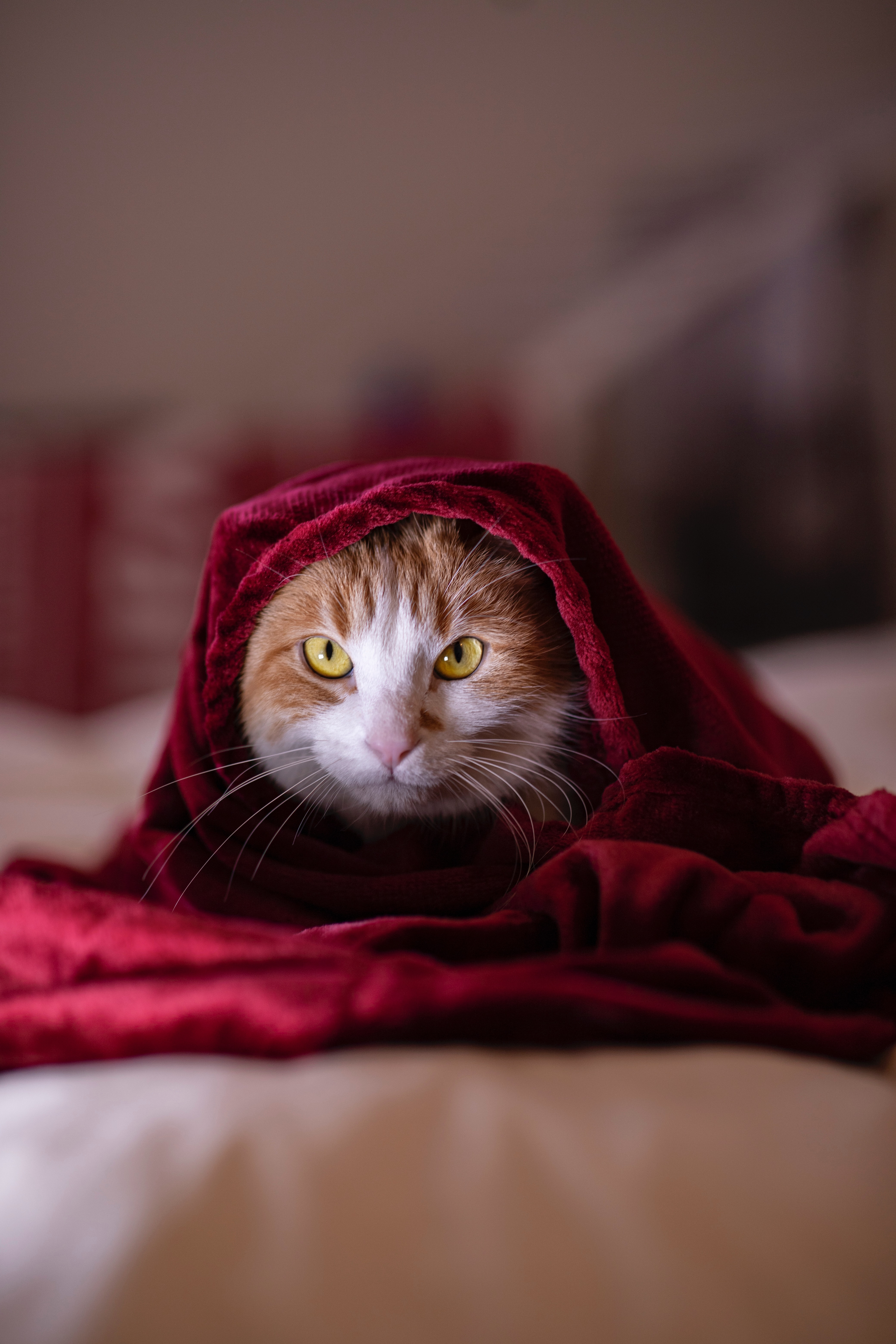 107952 Screensavers and Wallpapers Pet for phone. Download Animals, Cat, Blanket, Pet, Sight, Opinion pictures for free