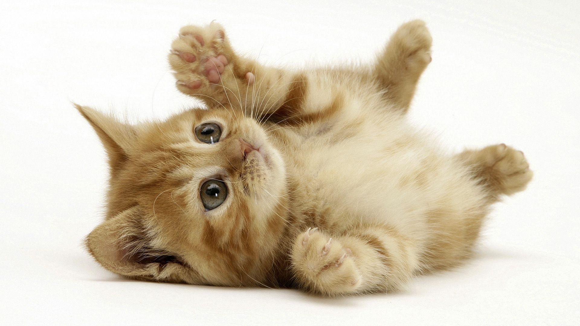 69505 download wallpaper Animals, Kitty, Kitten, To Lie Down, Lie, Playful, Paw screensavers and pictures for free