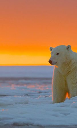 151422 download wallpaper Animals, Polar Bear, Alaska, Snow screensavers and pictures for free