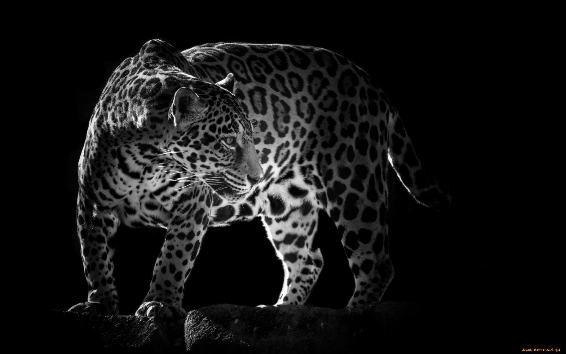 20560 download wallpaper Animals, Leopards screensavers and pictures for free