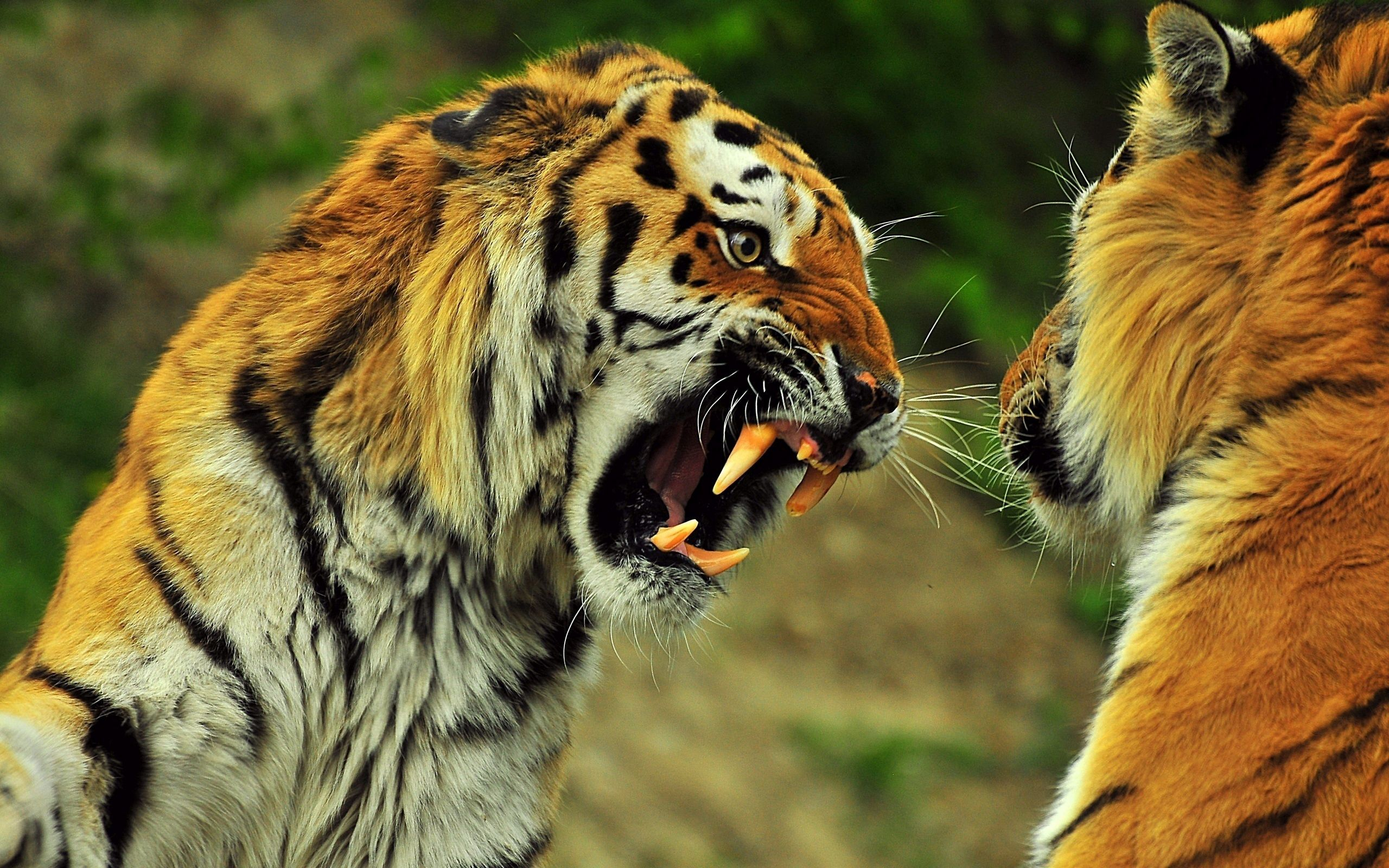 101782 Hintergrundbild herunterladen Tiere, Tigers, Grinsen, Grin, Paar, Kampf, Zorn, Wut, Schlacht - Bildschirmschoner und Bilder kostenlos