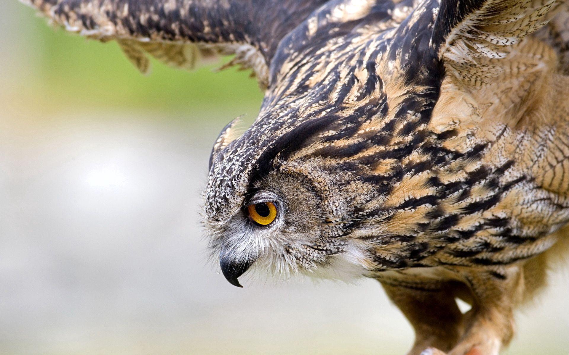 122281 Hintergrundbild herunterladen Tiere, Eule, Vogel, Raubtier, Predator, Welle, Fegen - Bildschirmschoner und Bilder kostenlos