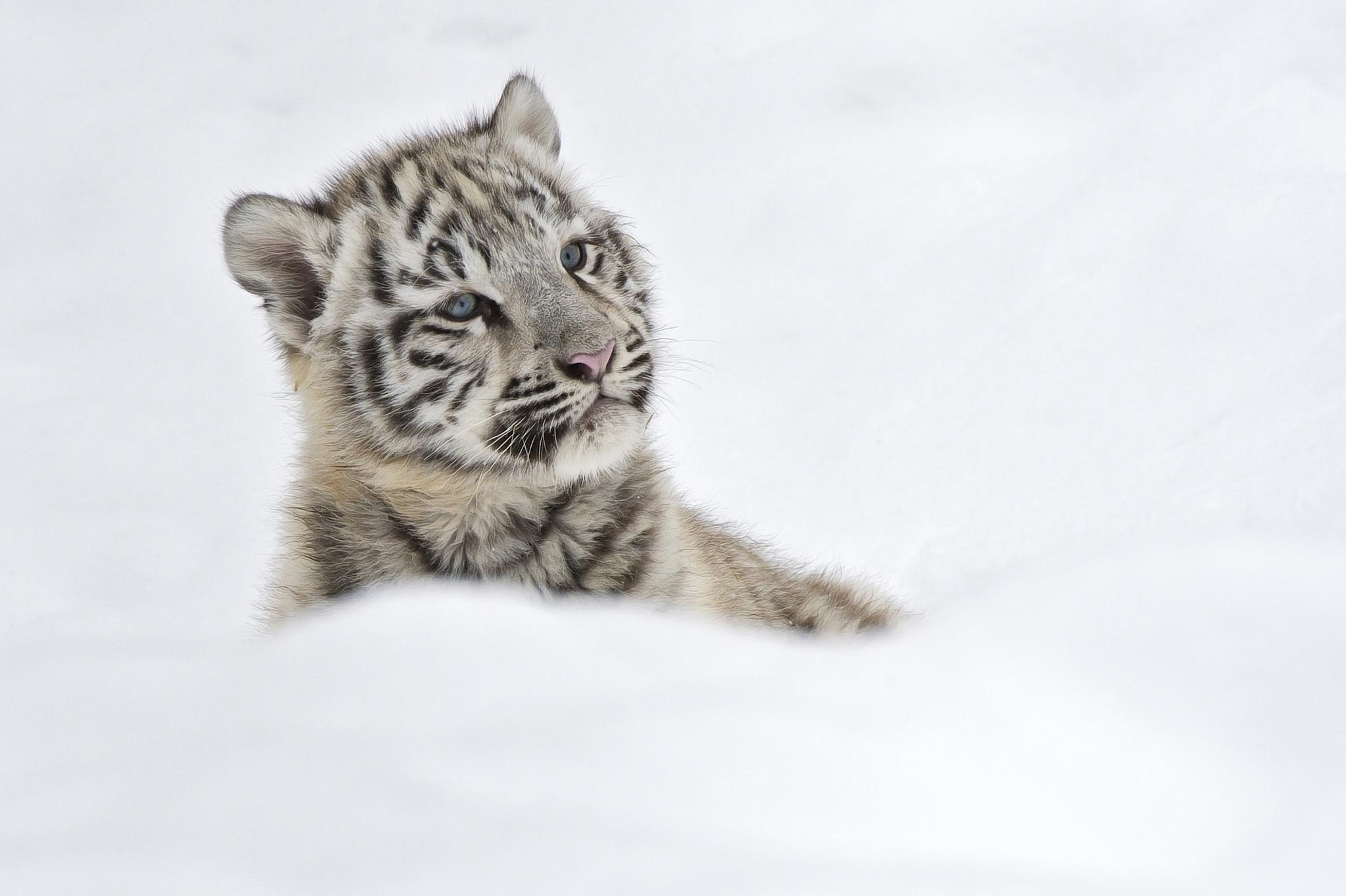 51884 Hintergrundbild herunterladen Tiere, Schnee, Junge, Tiger, Joey, Albino - Bildschirmschoner und Bilder kostenlos