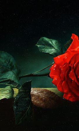 33211 descargar fondo de pantalla Plantas, Flores, Roses: protectores de pantalla e imágenes gratis