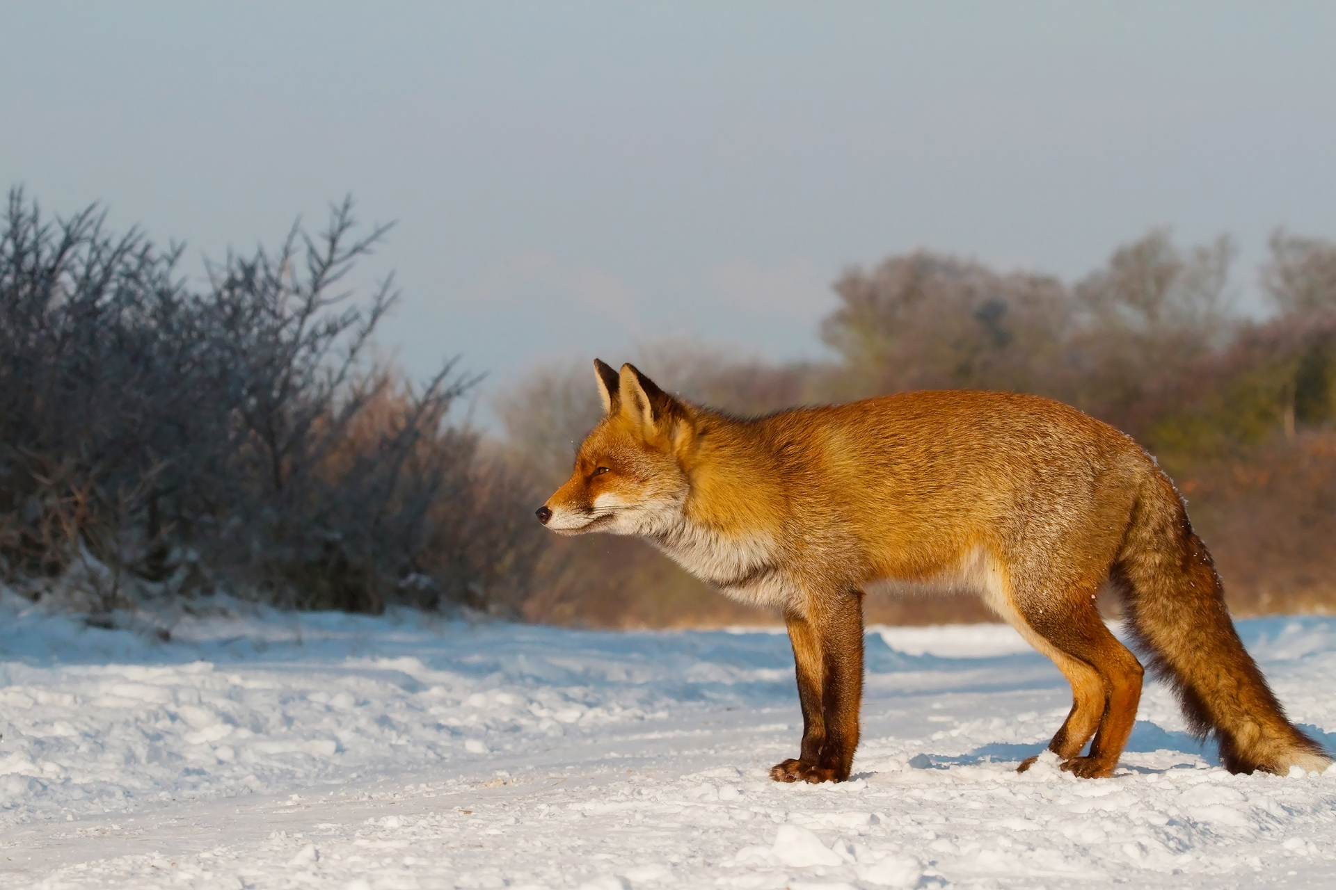 135583 download wallpaper Animals, Fox, Snow, Hunting, Hunt, Mindfulness, Attentiveness screensavers and pictures for free