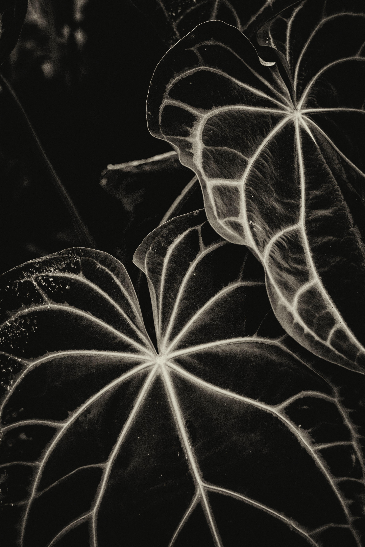 153252 скачать обои Макро, Листья, Жилки, Полосы, Растение, Чб - заставки и картинки бесплатно