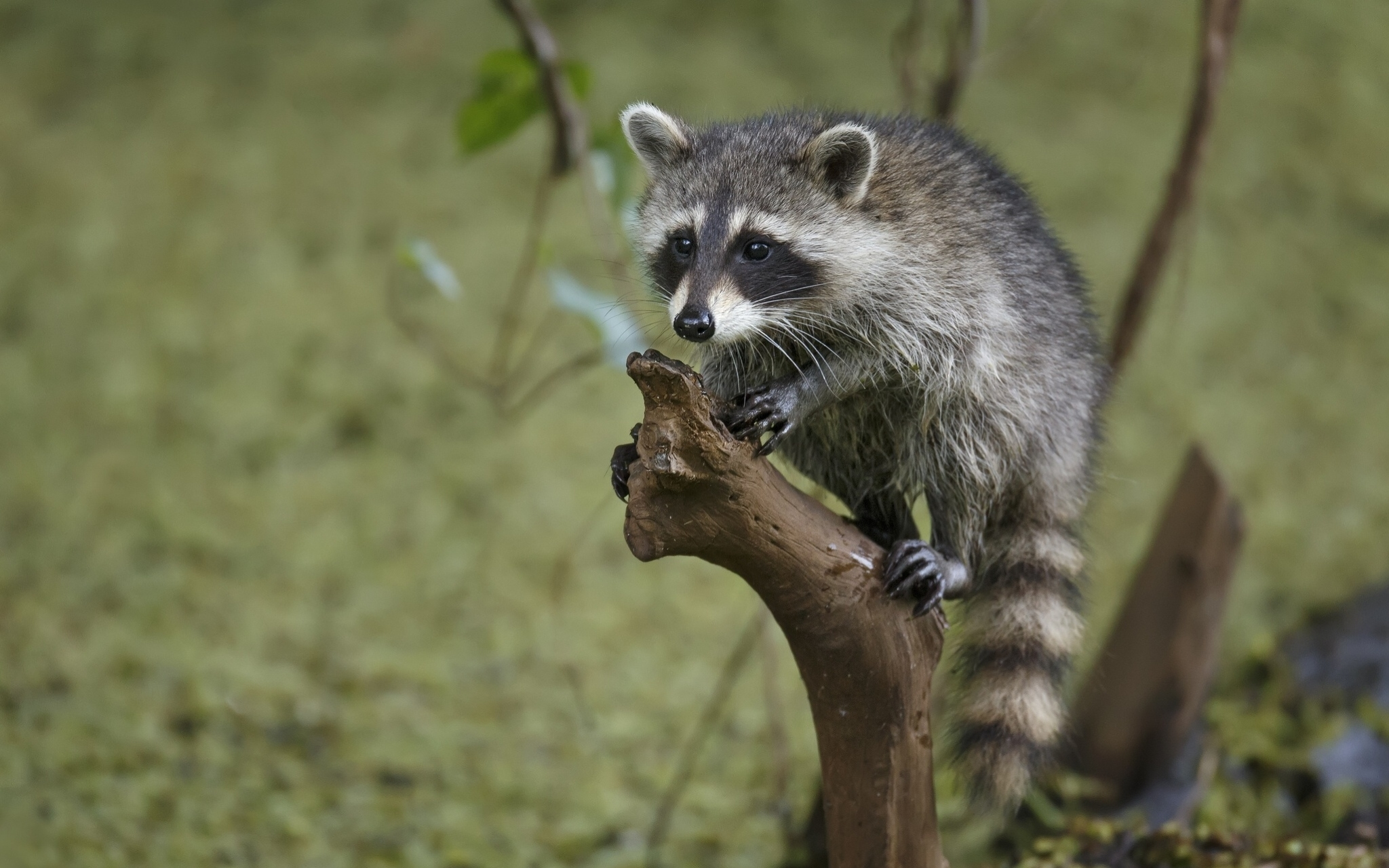 82950 Screensavers and Wallpapers Raccoon for phone. Download Animals, Wood, Tree, Branches, Striped, Raccoon pictures for free