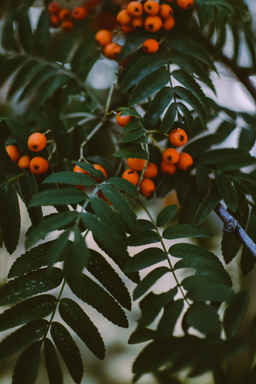 58436 скачать обои Макро, Рябина, Ветки, Листья, Растение, Ягоды - заставки и картинки бесплатно