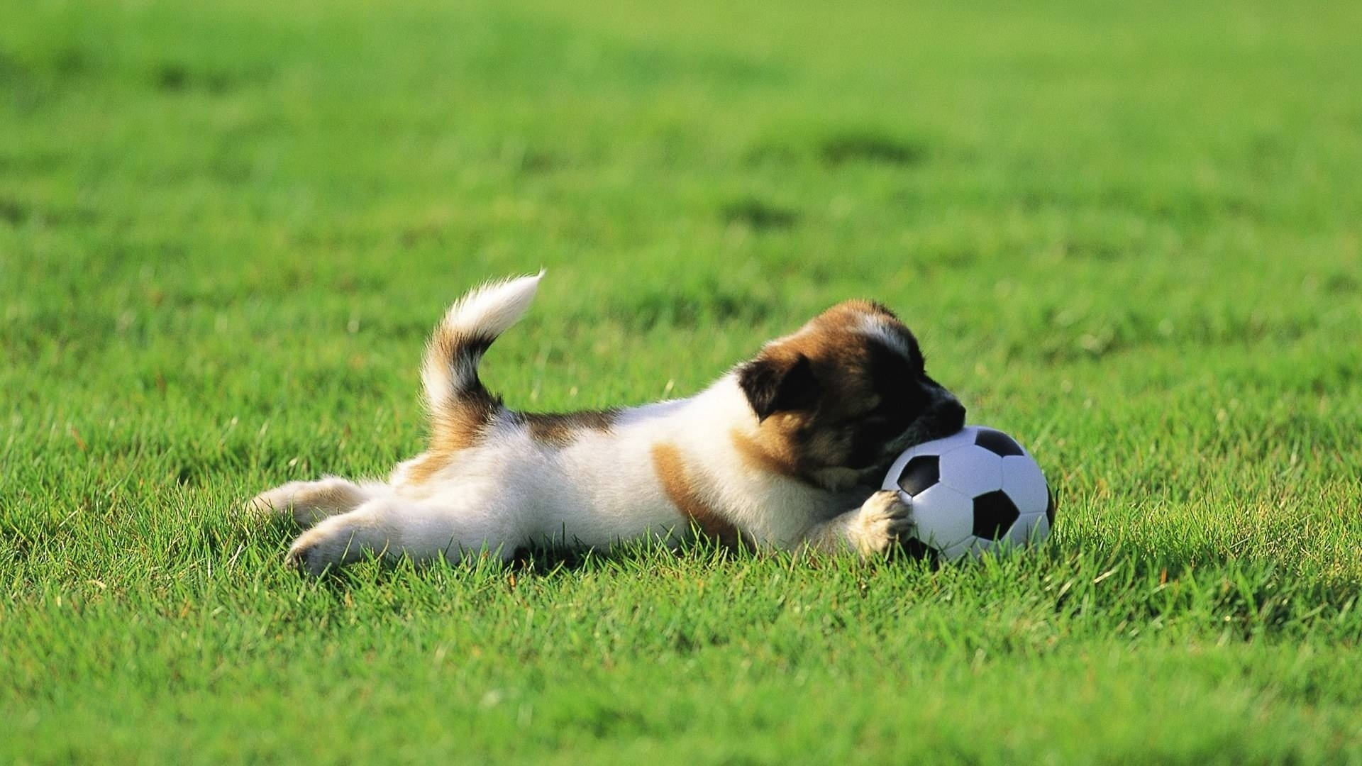12419 download wallpaper Sports, Animals, Dogs, Grass, Football screensavers and pictures for free