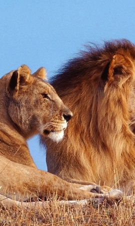 3435 download wallpaper Animals, Lions screensavers and pictures for free