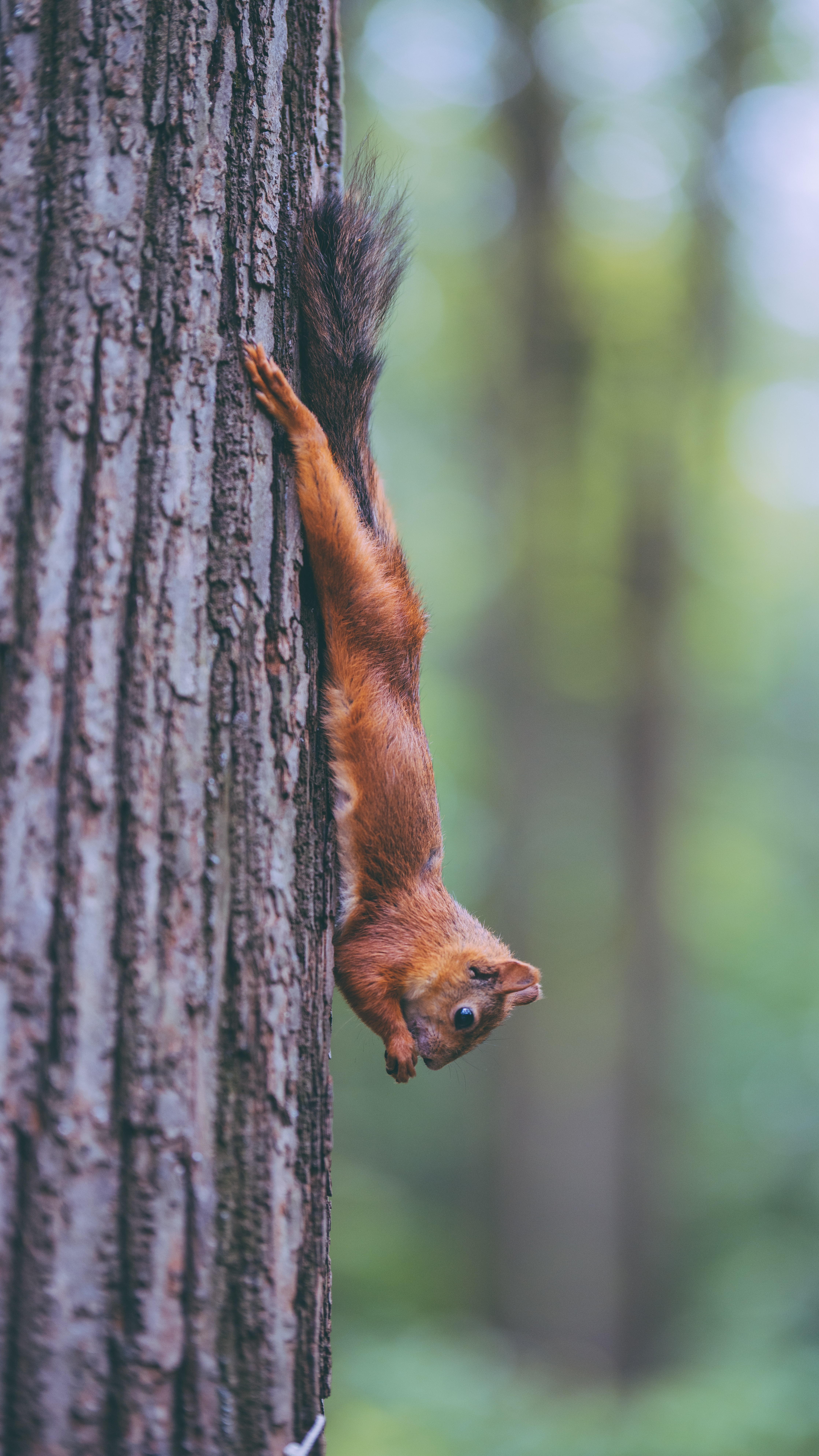 77722 download wallpaper Animals, Squirrel, Animal, Rodent, Funny, Wood, Tree screensavers and pictures for free