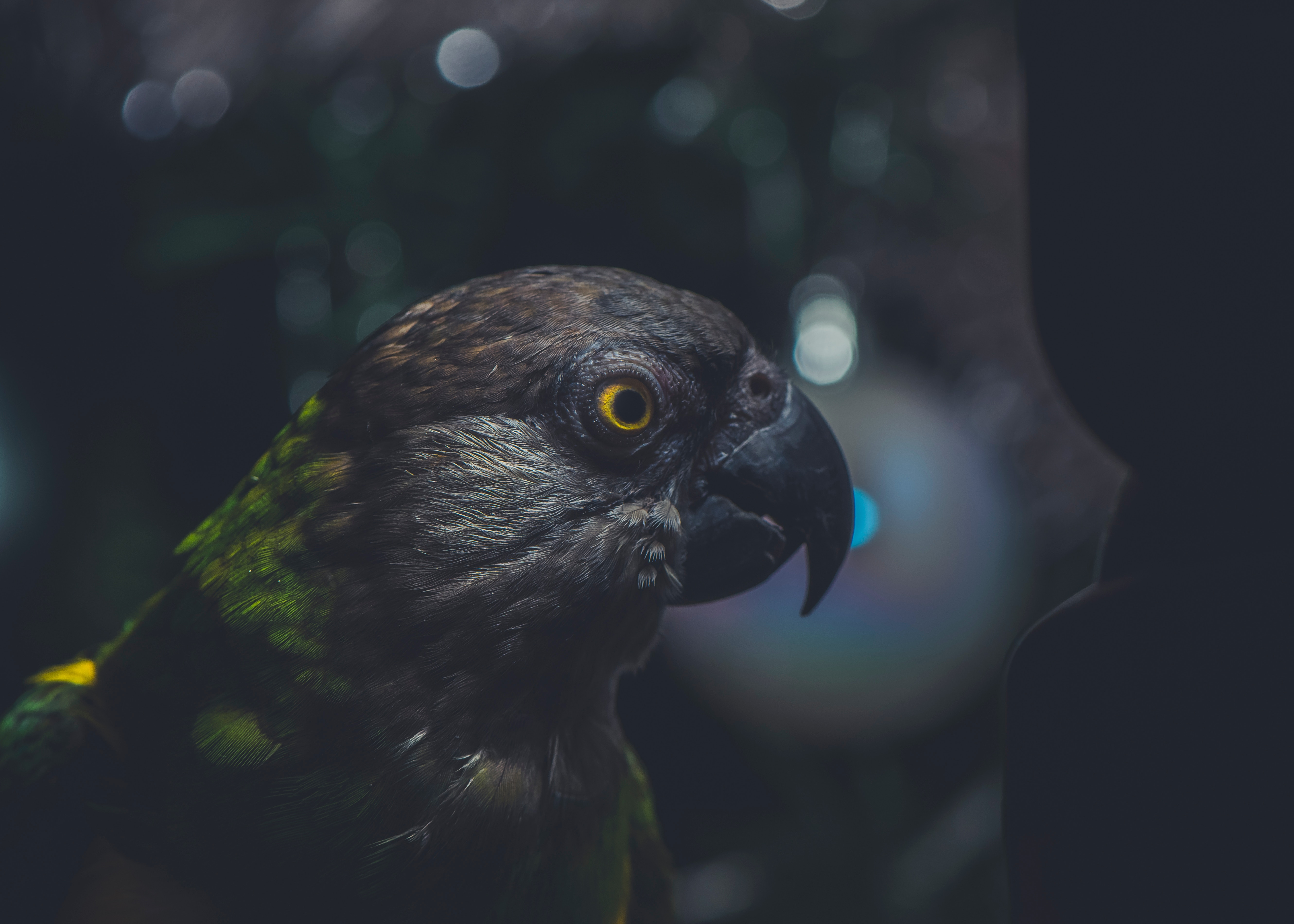 52428 Screensavers and Wallpapers Parrots for phone. Download Parrots, Animals, Dark, Bird, Beak, Eye pictures for free
