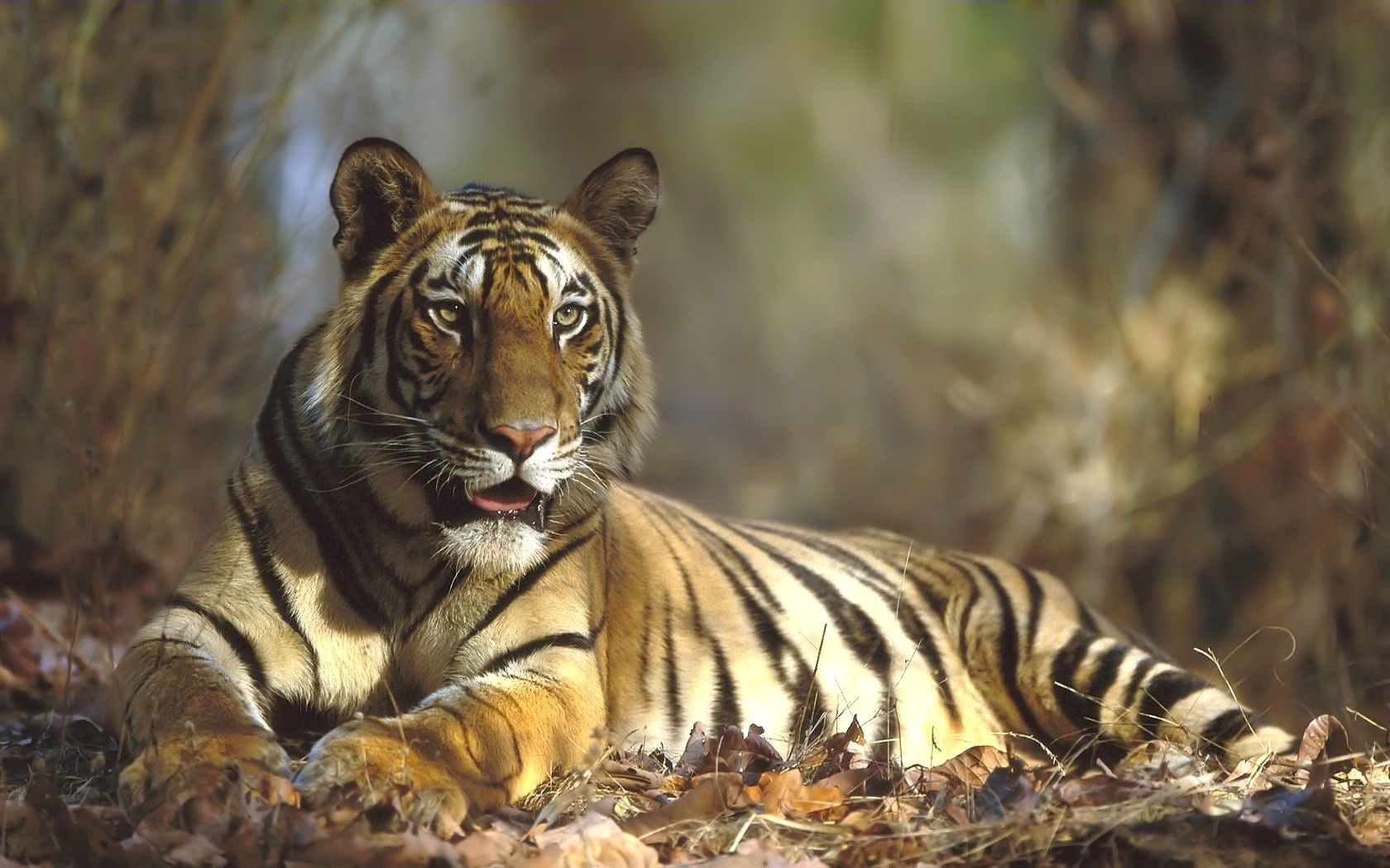72489 скачать обои Животные, Тигр, Лежать, Трава, Лес - заставки и картинки бесплатно