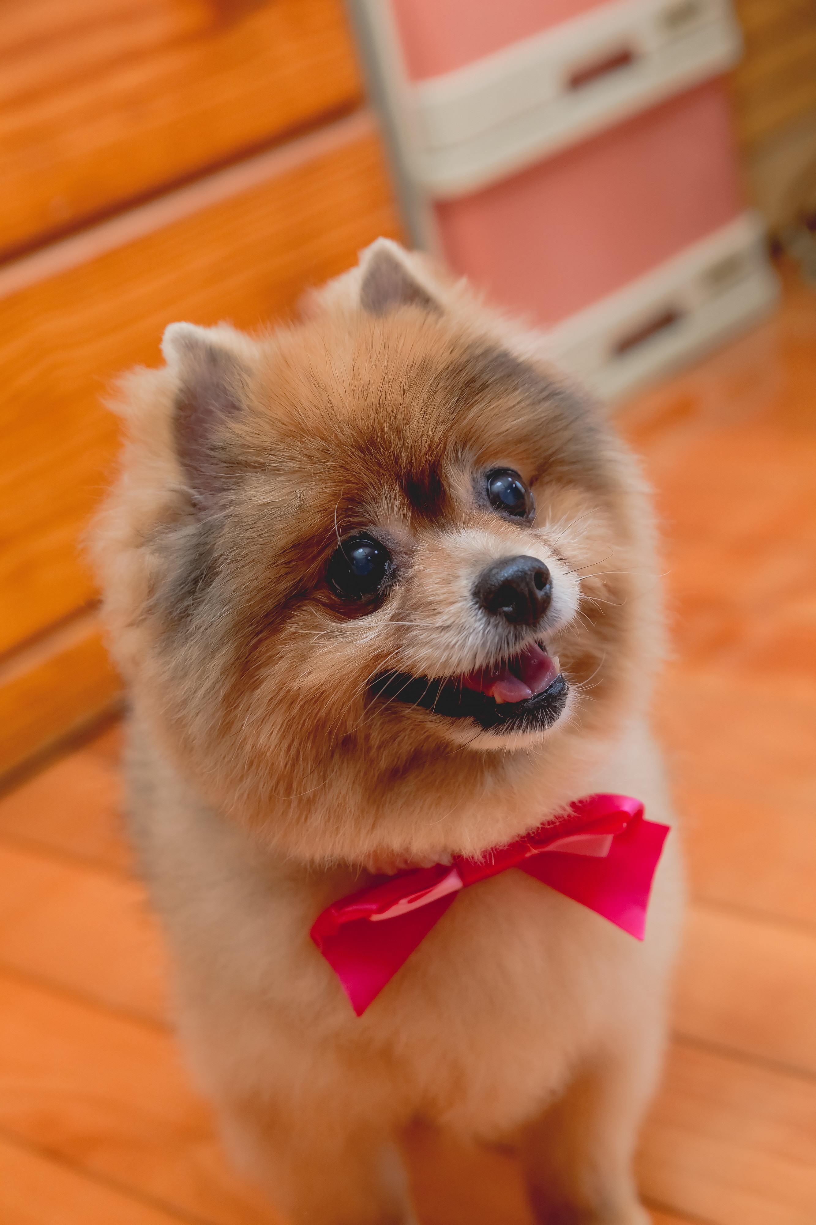74942 download wallpaper Animals, Spitz, Dog, Protruding Tongue, Tongue Stuck Out, Bow screensavers and pictures for free