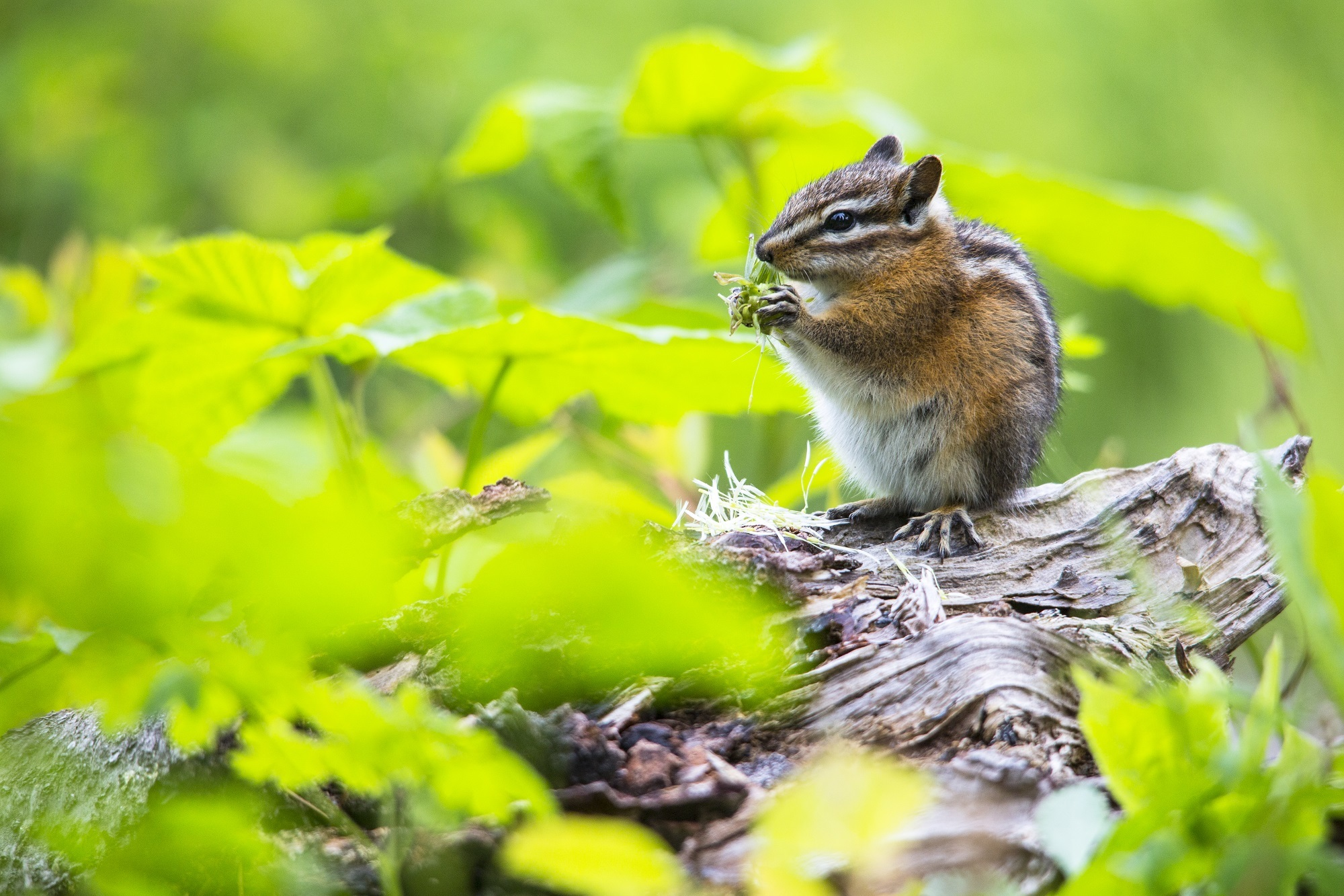 65648 download wallpaper Leaves, Animals, Food, Grass, Chipmunk screensavers and pictures for free