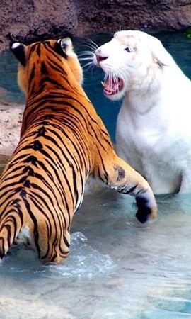 128349壁紙のダウンロード動物, 水, 戦い, 戦う, 川, 阪神タイガース-スクリーンセーバーと写真を無料で