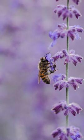お使いの携帯電話の77158スクリーンセーバーと壁紙昆虫。 大きい, マクロ, 蜂, 花, 受粉, 昆虫, ライラックの写真を無料でダウンロード