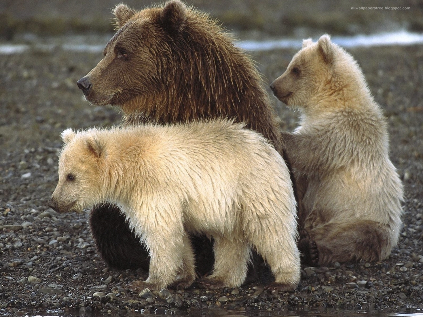 50287 download wallpaper Animals, Bears screensavers and pictures for free