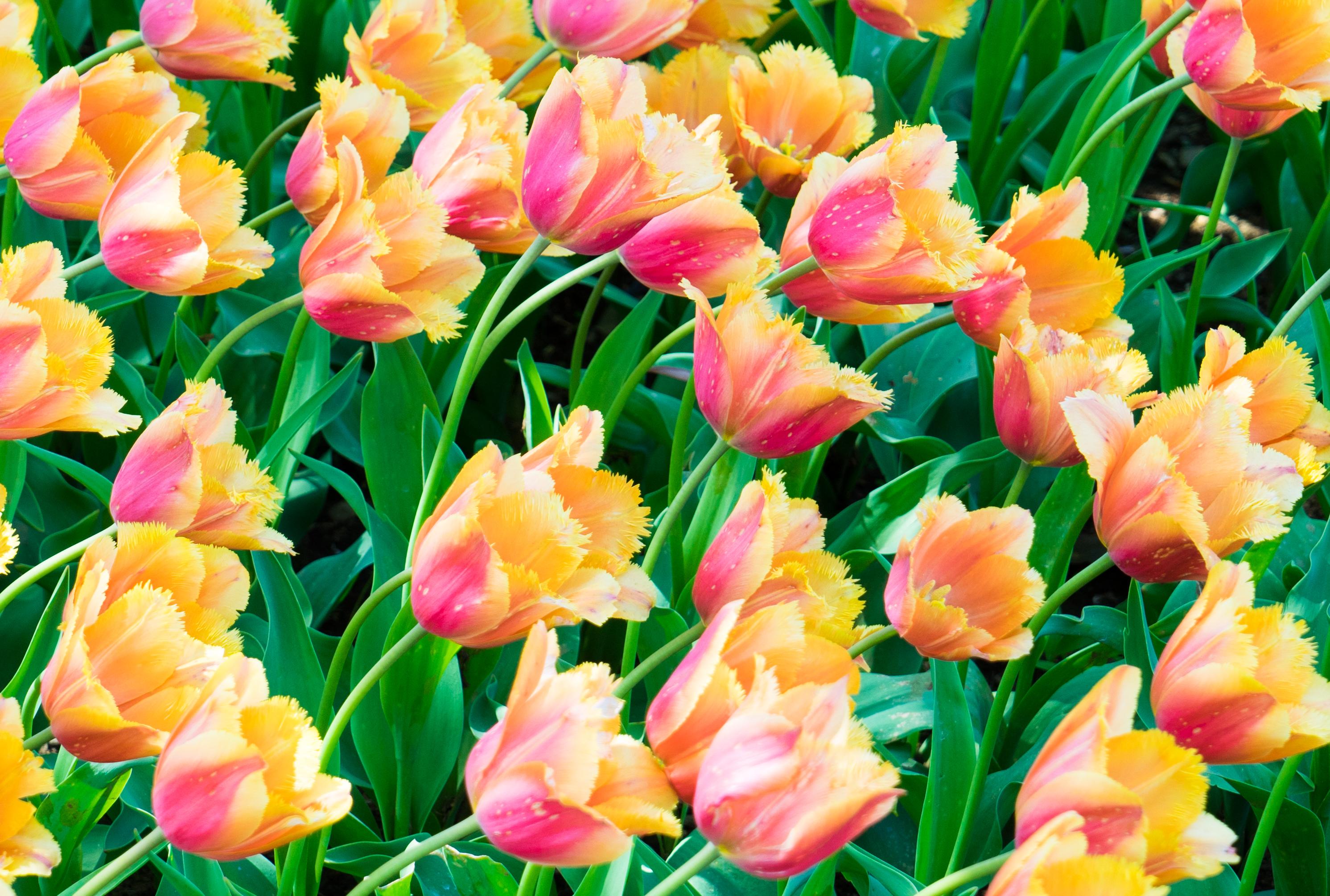 124258 скачать обои Цветы, Растения, Тюльпаны, Листья - заставки и картинки бесплатно