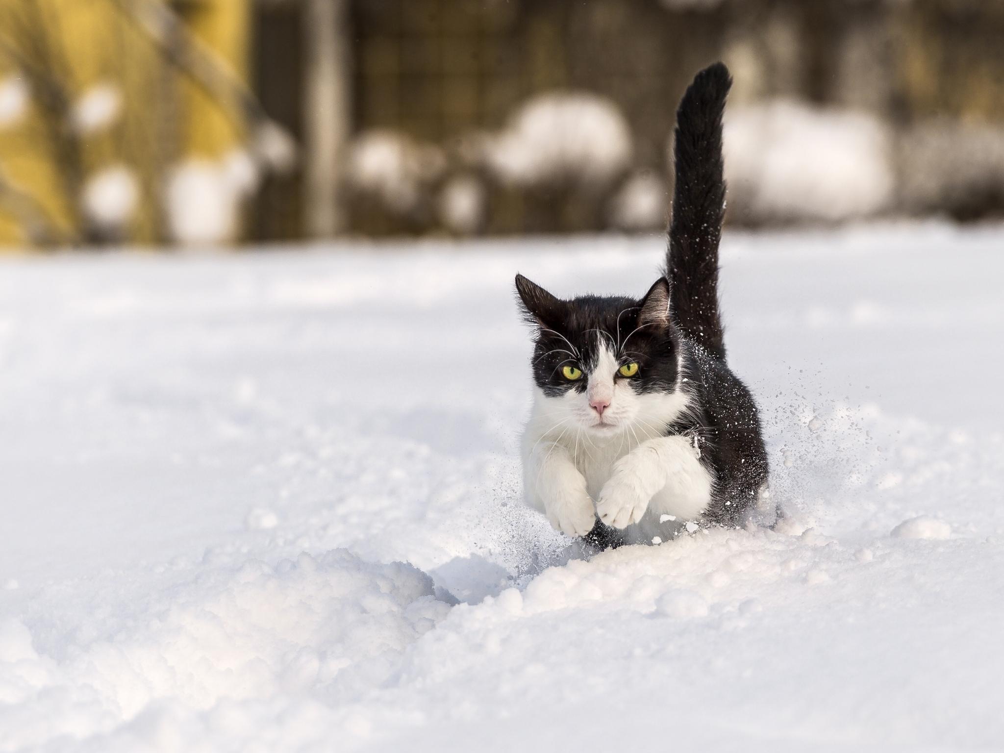 102467壁紙のダウンロード動物, ネコ, 猫, 冬, 雪, 跳ねる、弾む, 跳ねる-スクリーンセーバーと写真を無料で