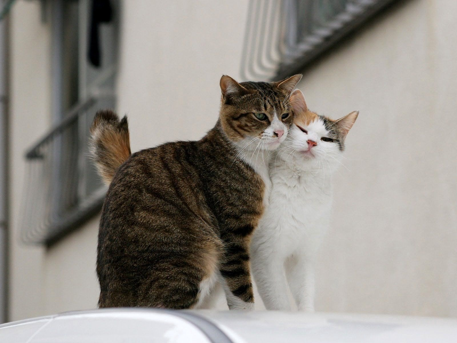 55913 Screensavers and Wallpapers Cats for phone. Download Animals, Cats, Couple, Pair, Tenderness, Love pictures for free