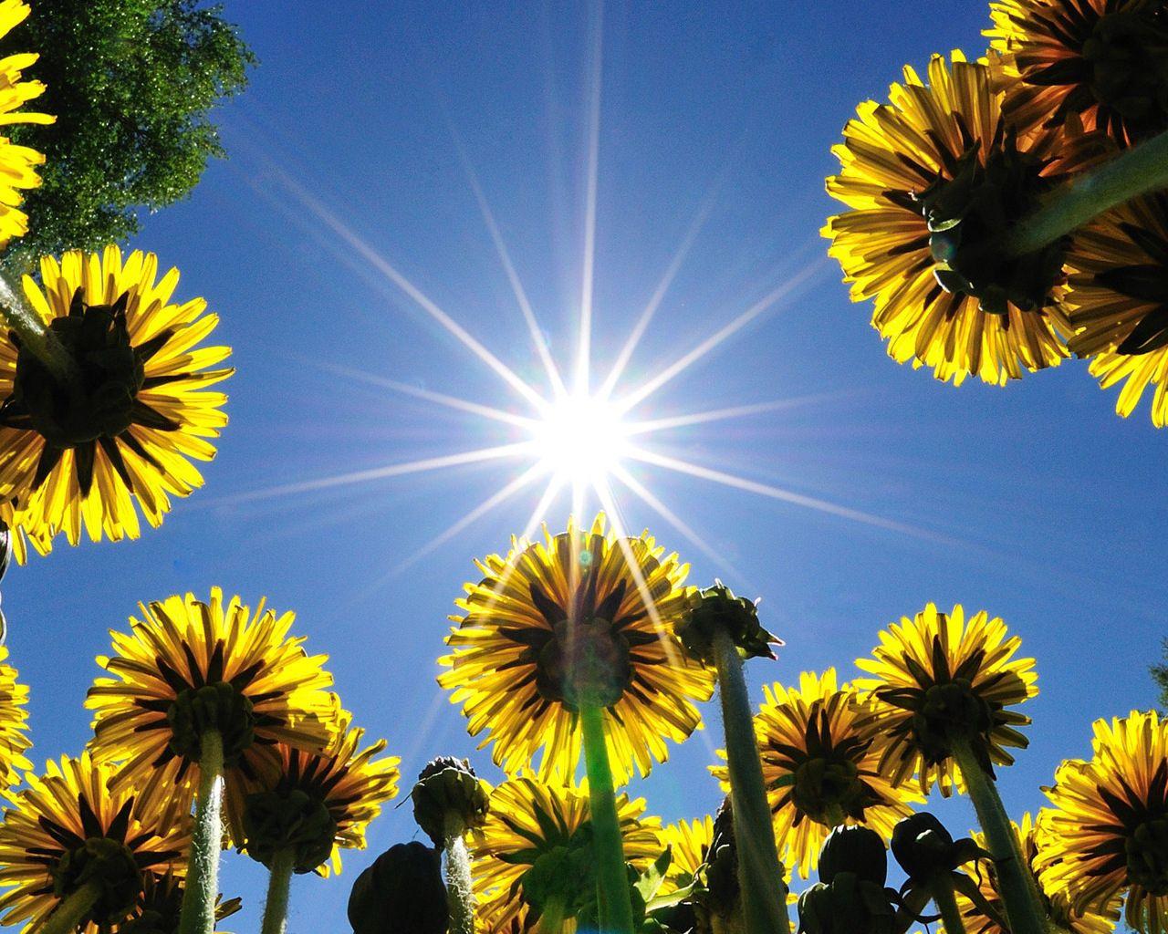 121556 скачать обои Цветы, Небо, Одуванчики, Лето, Лучи, Поле, Солнышко - заставки и картинки бесплатно