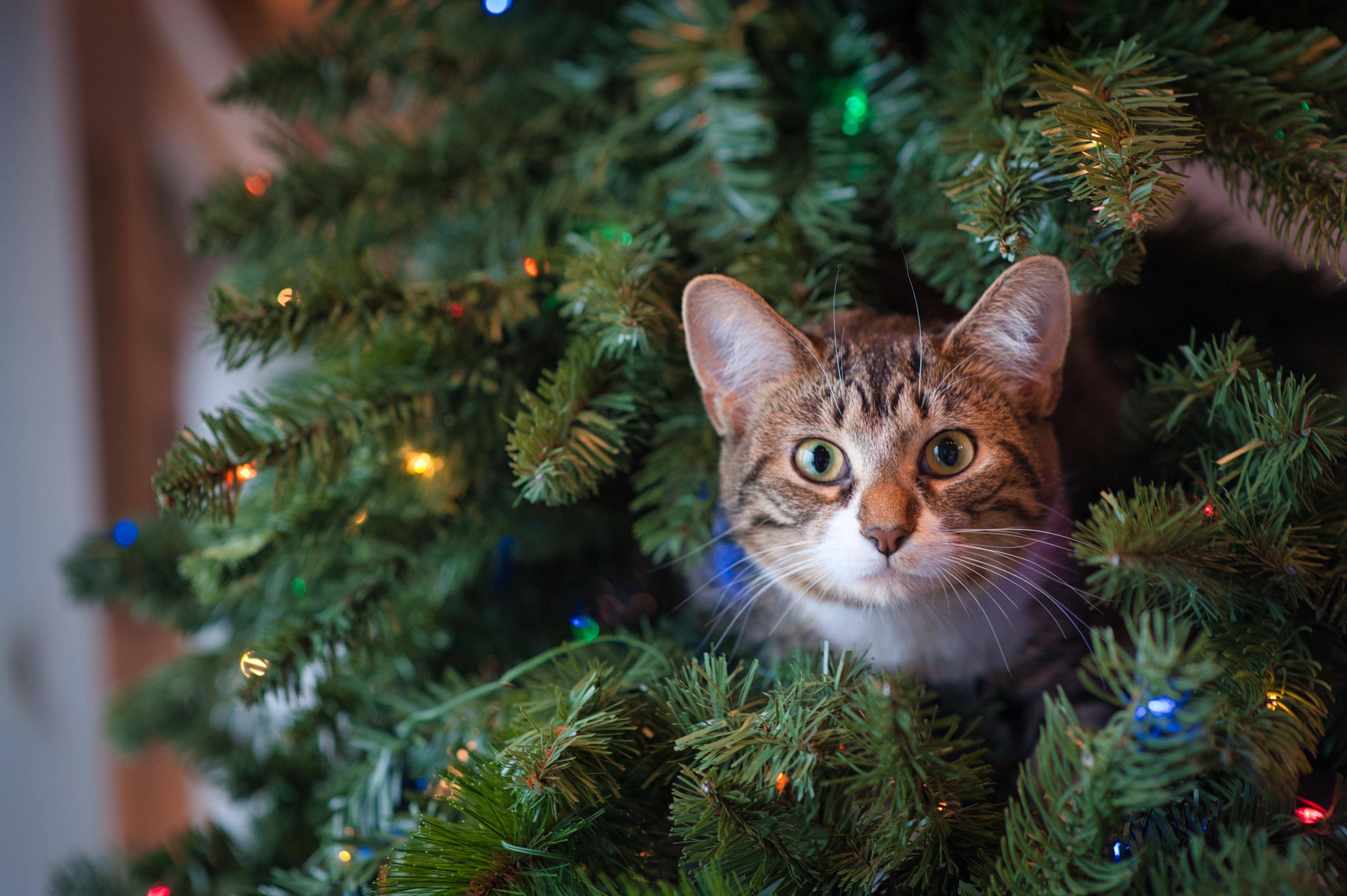 101500 Hintergrundbild herunterladen Katze, Tiere, Neujahr, Der Kater, Neues Jahr, Haustier, Sicht, Meinung, Weihnachtsbaum - Bildschirmschoner und Bilder kostenlos