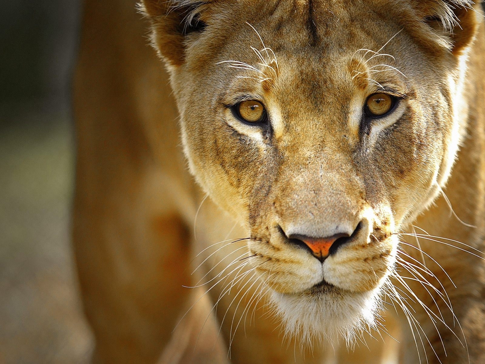 6086 download wallpaper Animals, Lions screensavers and pictures for free