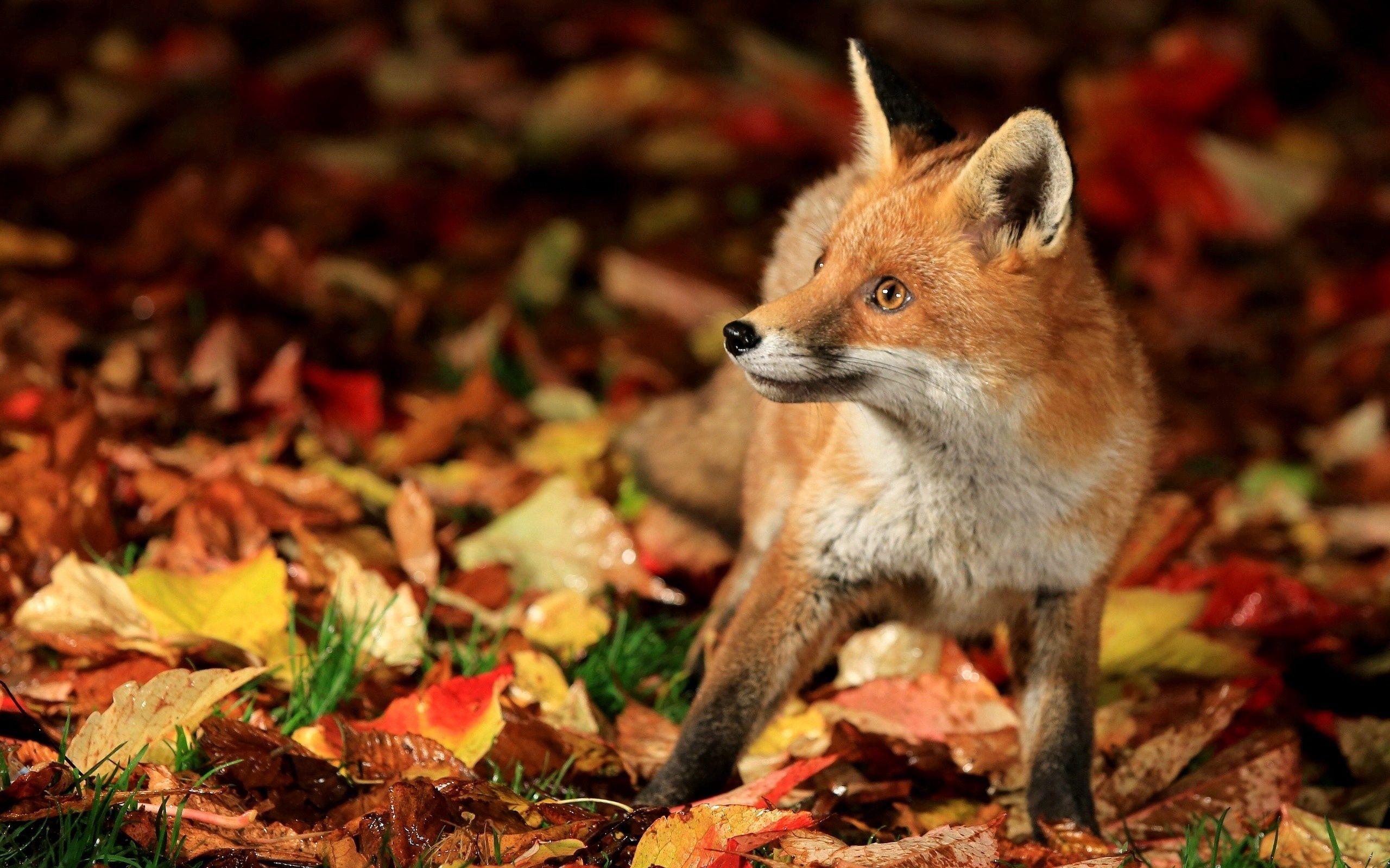 55613 Hintergrundbild herunterladen Blätter, Tiere, Herbst, Bummel, Spaziergang, Schreck, Ein Fuchs, Fuchs - Bildschirmschoner und Bilder kostenlos