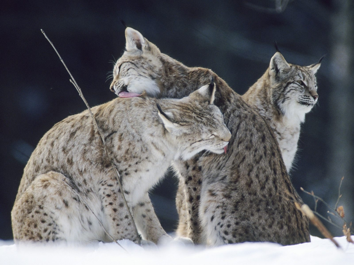 27749 download wallpaper Animals, Bobcats screensavers and pictures for free