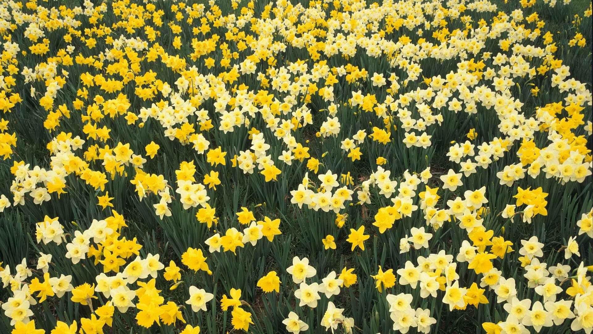 113033 Заставки и Обои Нарциссы на телефон. Скачать Цветы, Нарциссы, Зелень, Клумба, Весна картинки бесплатно