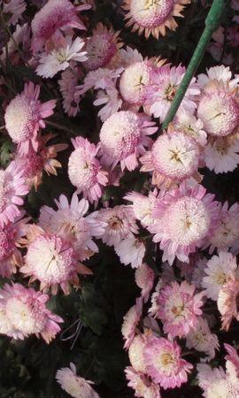 23744 скачать обои Растения, Цветы - заставки и картинки бесплатно