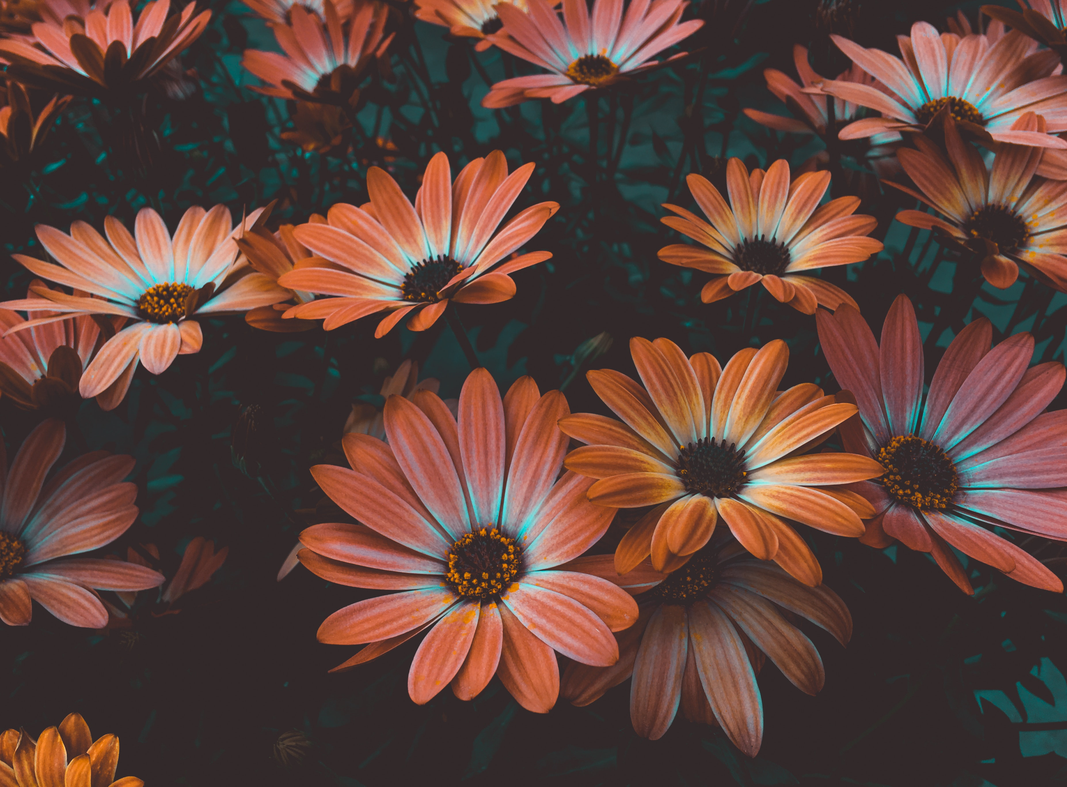 62448 Screensavers and Wallpapers Flower Bed for phone. Download Flower Bed, Flowers, Bloom, Flowering, Flowerbed, Osteospermum, African Chamomile, African Daisy pictures for free