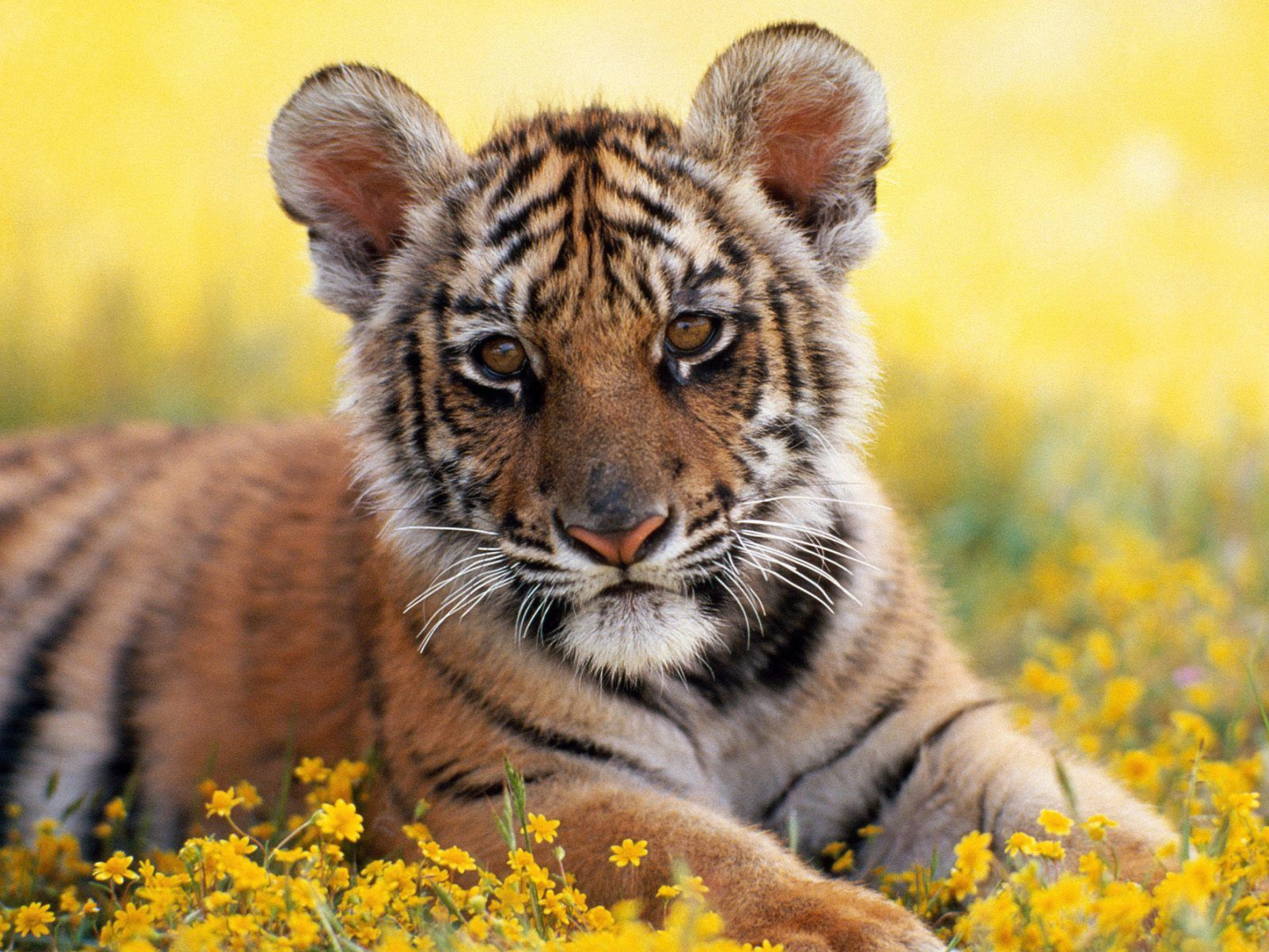 99624 download wallpaper Animals, Tiger Cub, Tiger, Grass, Young, Joey, Flowers screensavers and pictures for free